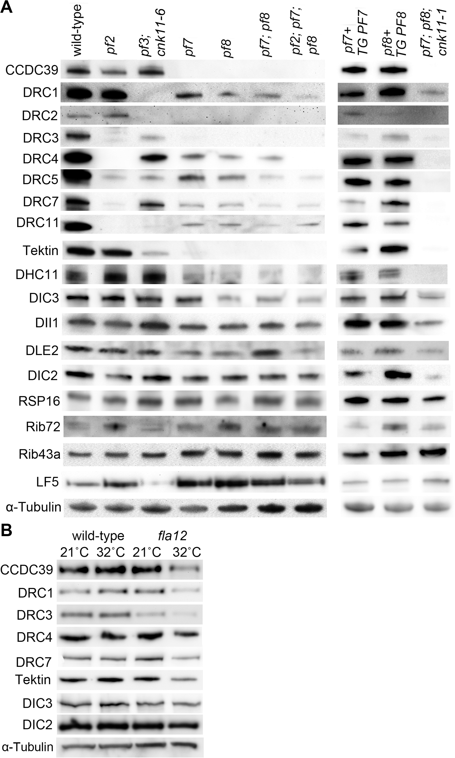 Reduced or absent N-DRC and other axonemal proteins are not restored in <i>pf7</i>; <i>pf8</i> suppressors.