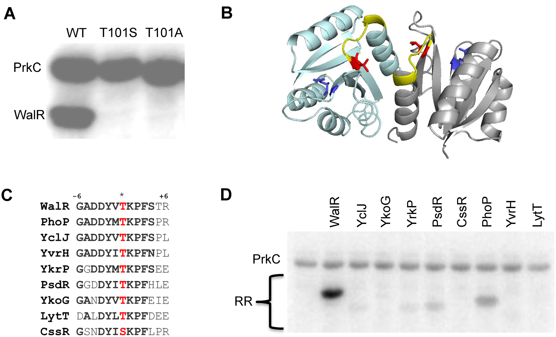 PrkC phosphorylates WalR Thr101 <i>in vitro</i>.