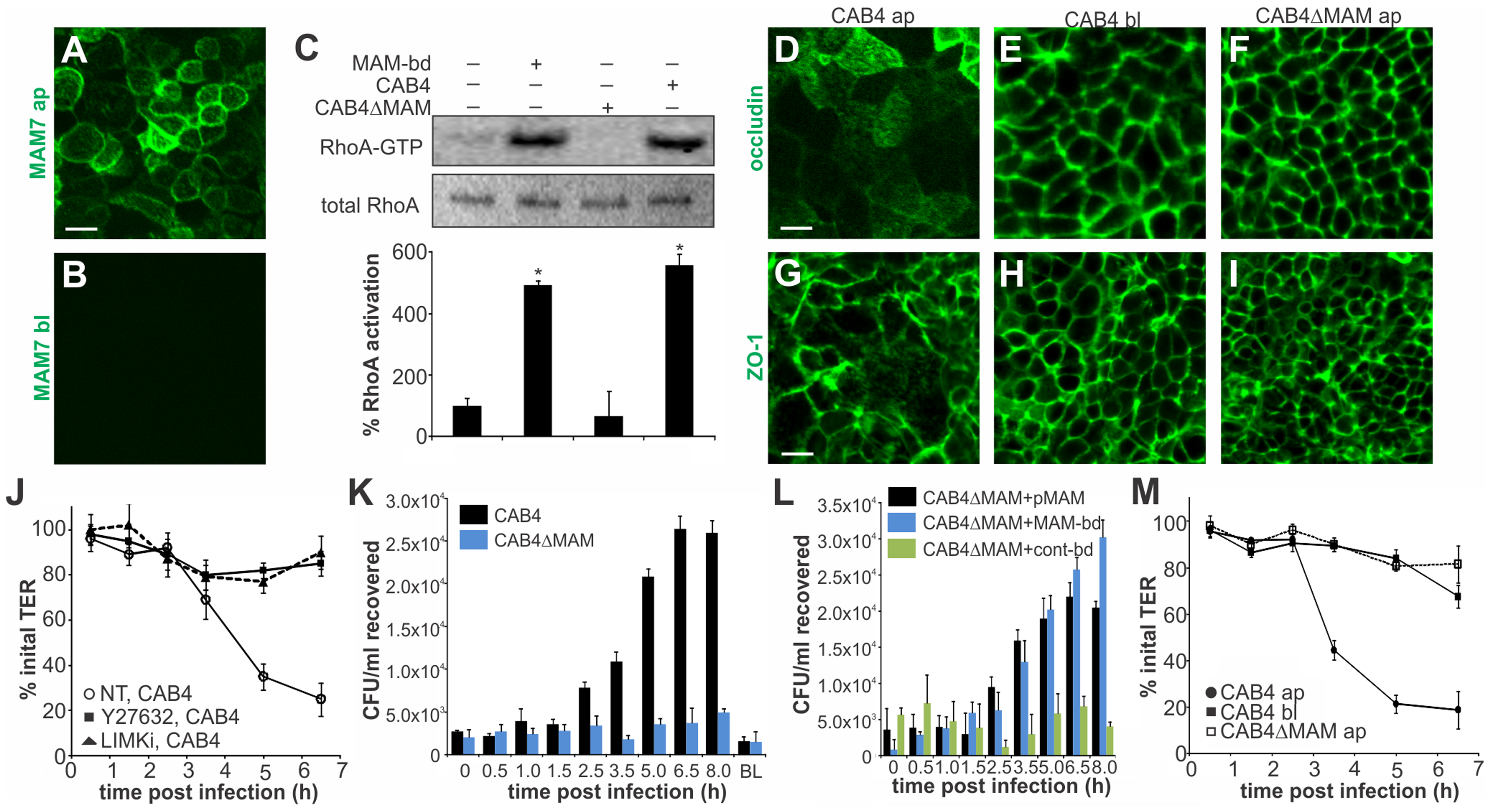 MAM adhesion is necessary and sufficient to disrupt epithelial barrier function and promote bacterial transmigration.