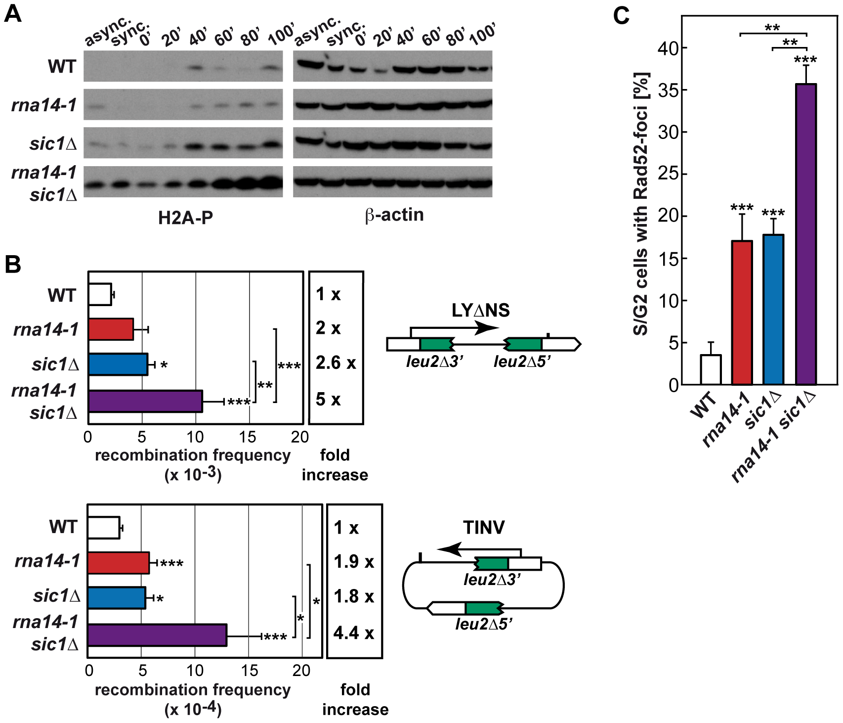 Absence of functional G1/S checkpoint leads to DNA damage and genomic instability in <i>rna14-1</i> cells.