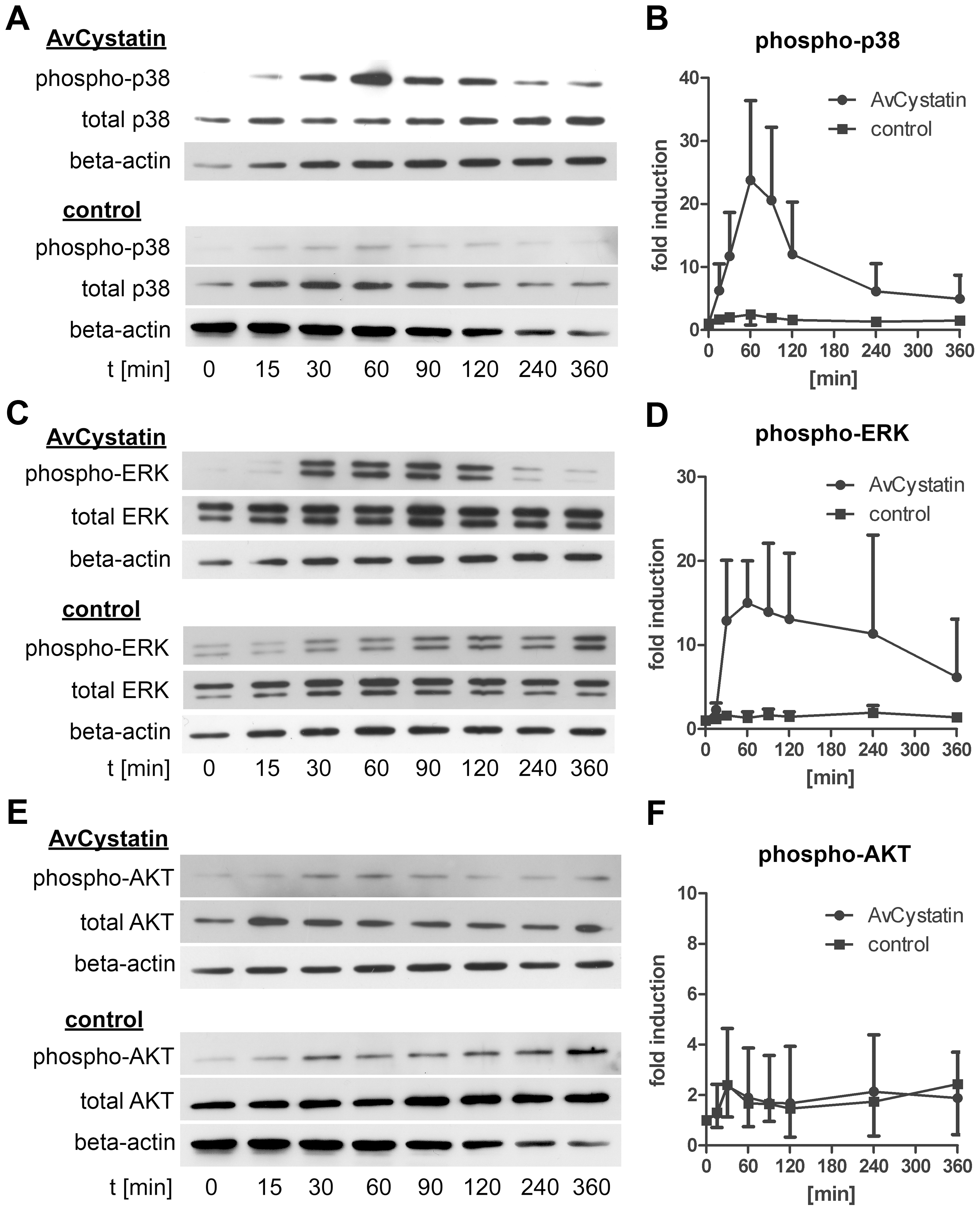 AvCystatin stimulation induces transient phosphorylation of p38 and ERK.
