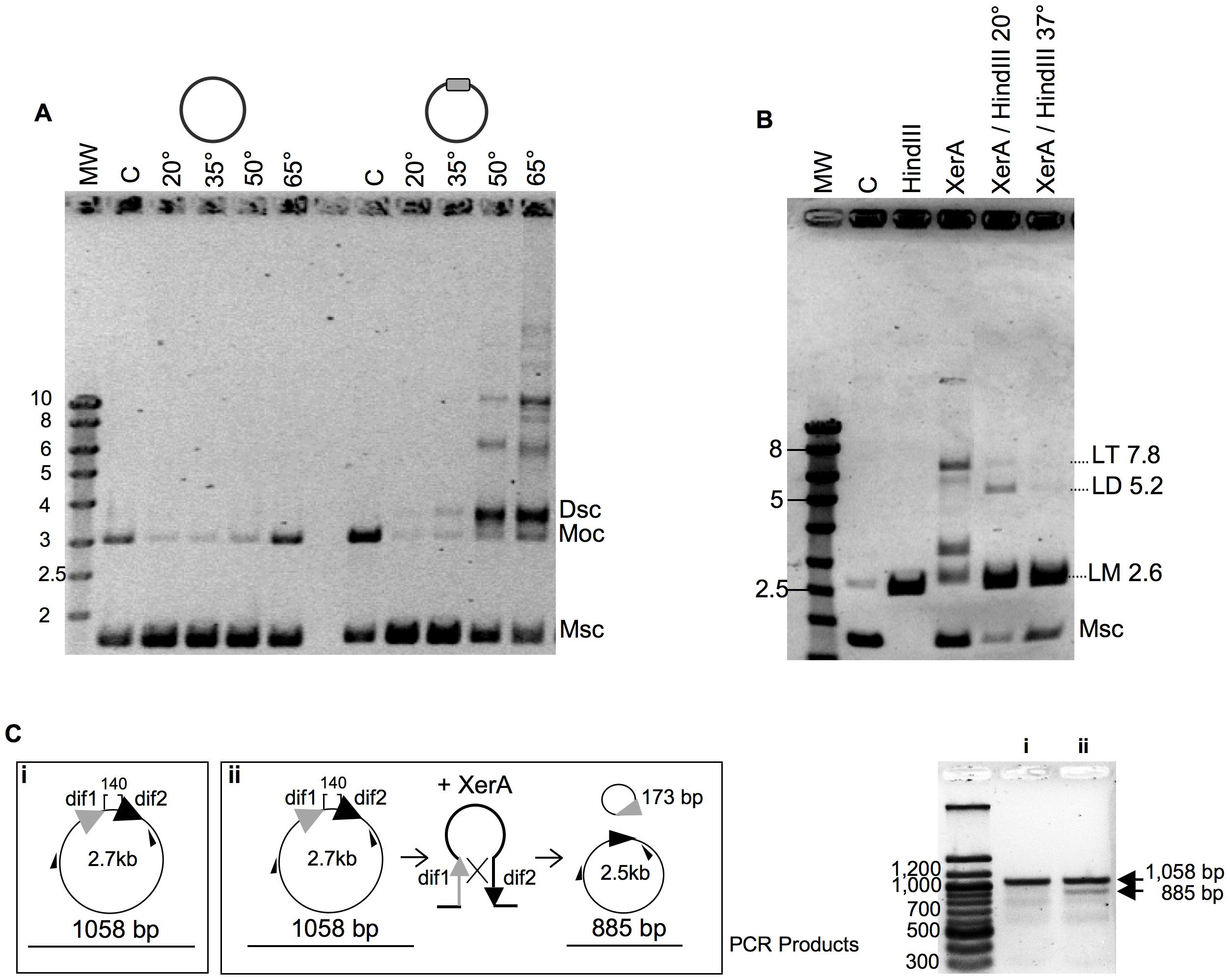 Recombination activity of <i>P. abyssi</i> XerA.