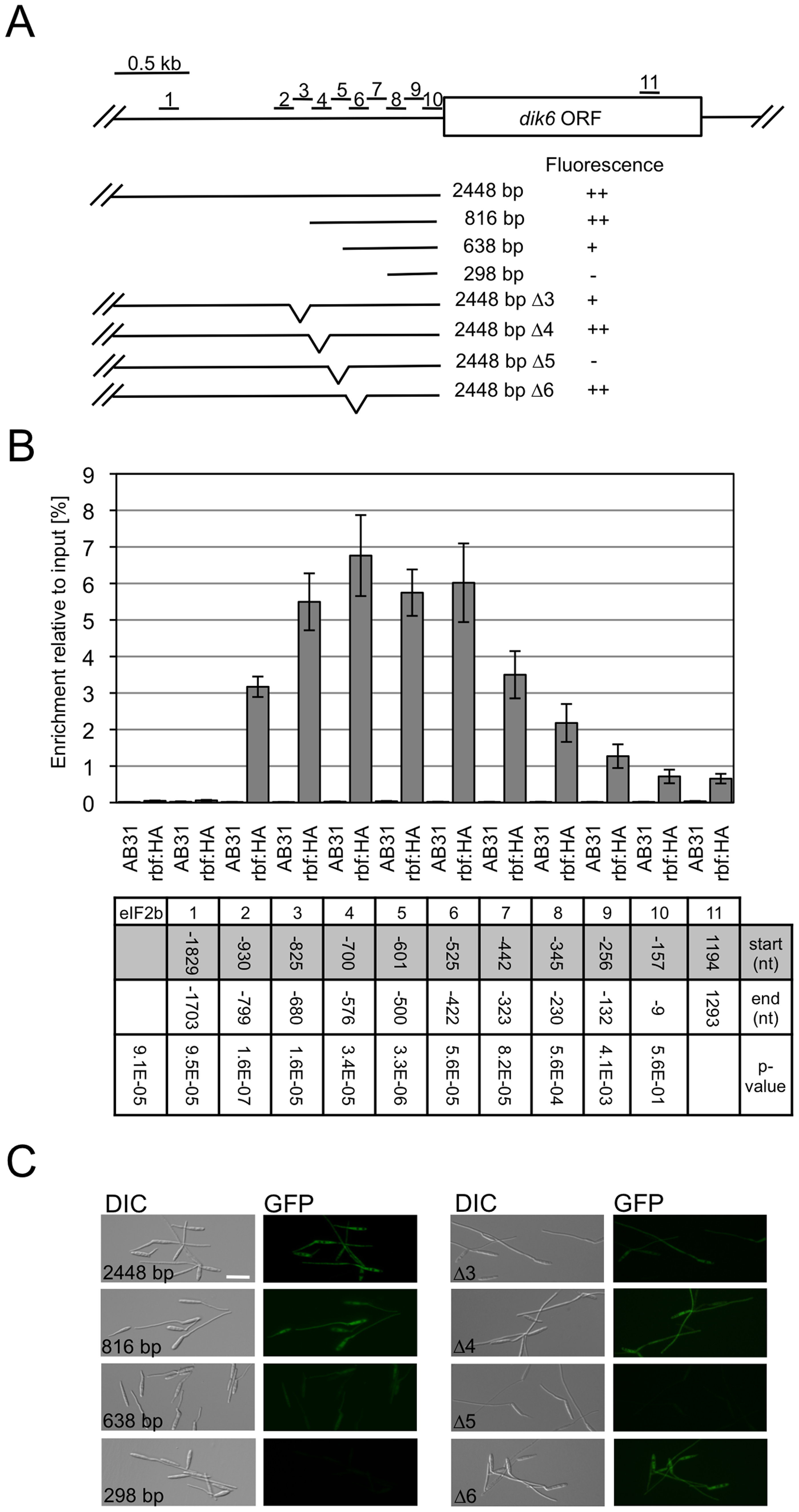 Rbf1 binds to the promoter of the Rbf1-dependently expressed <i>dik6</i> gene.