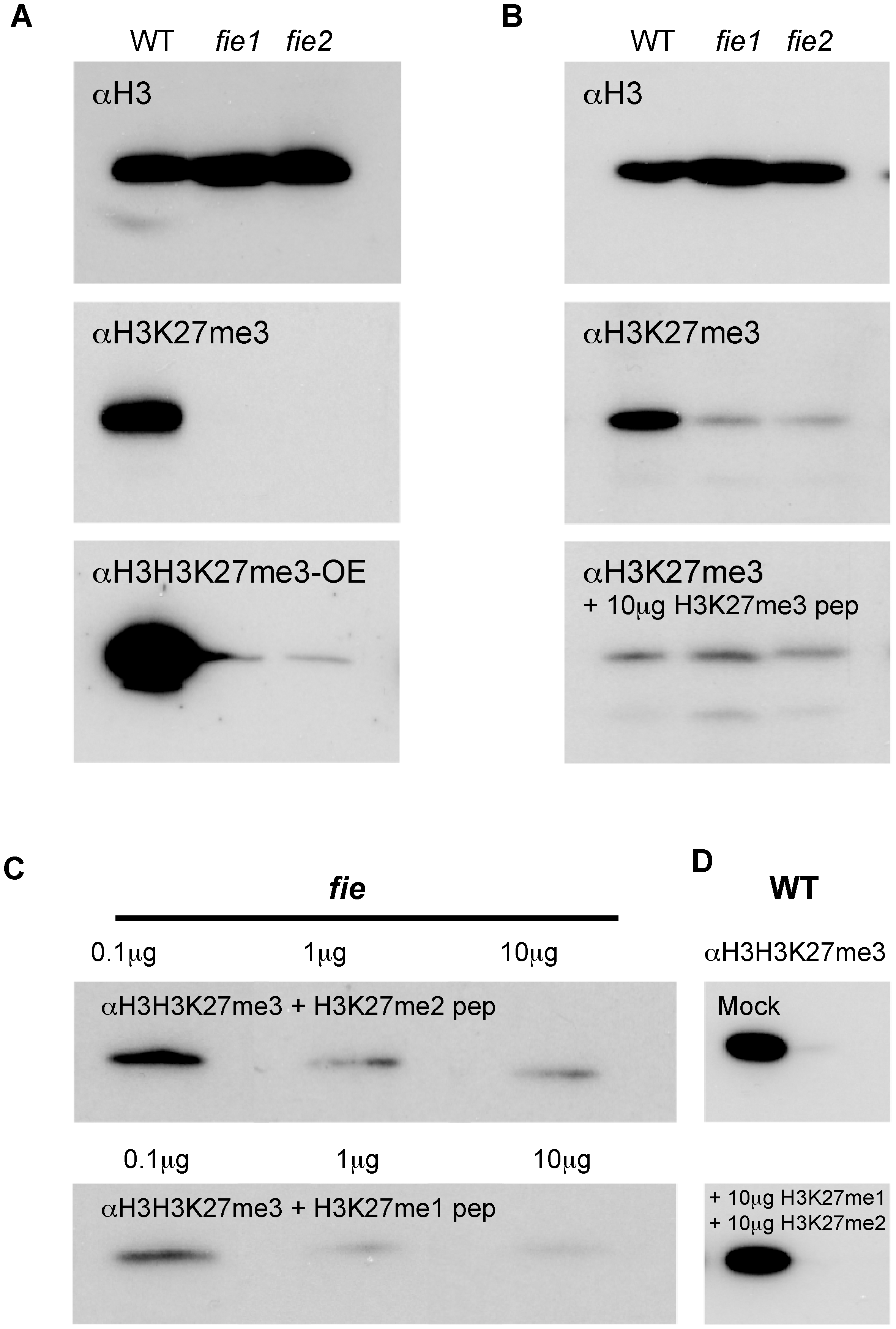 Western blot detection of the H3K27me3 mark.