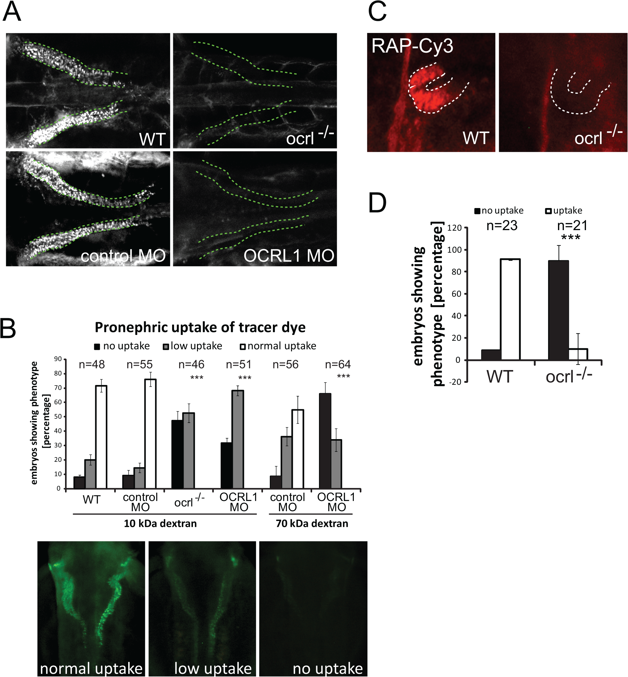 Impairment of pronephric uptake in OCRL1 deficient zebrafish embryos.