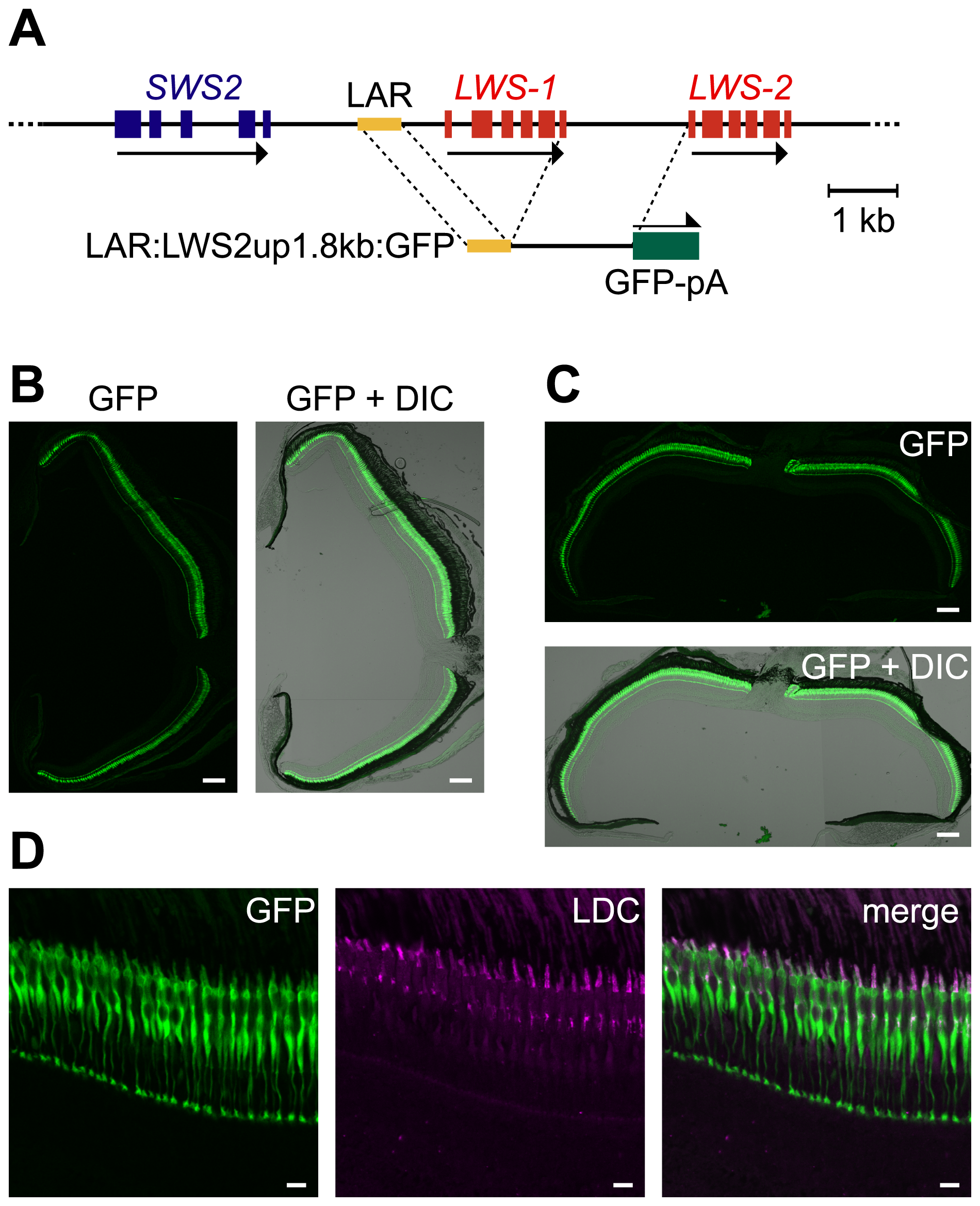 LDC–specific expression of GFP in the entire retina by LAR:LWS2up1.8kb:GFP.