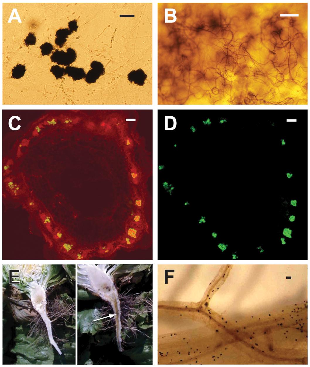 Characteristics of <i>Verticillium dahliae</i> (<i>Vd</i>) and <i>V. albo-atrum</i> (<i>Vaa</i>) used in the comparative genomics analyses, showing hallmark morphological features of the fungi, and aspects of plant colonization.