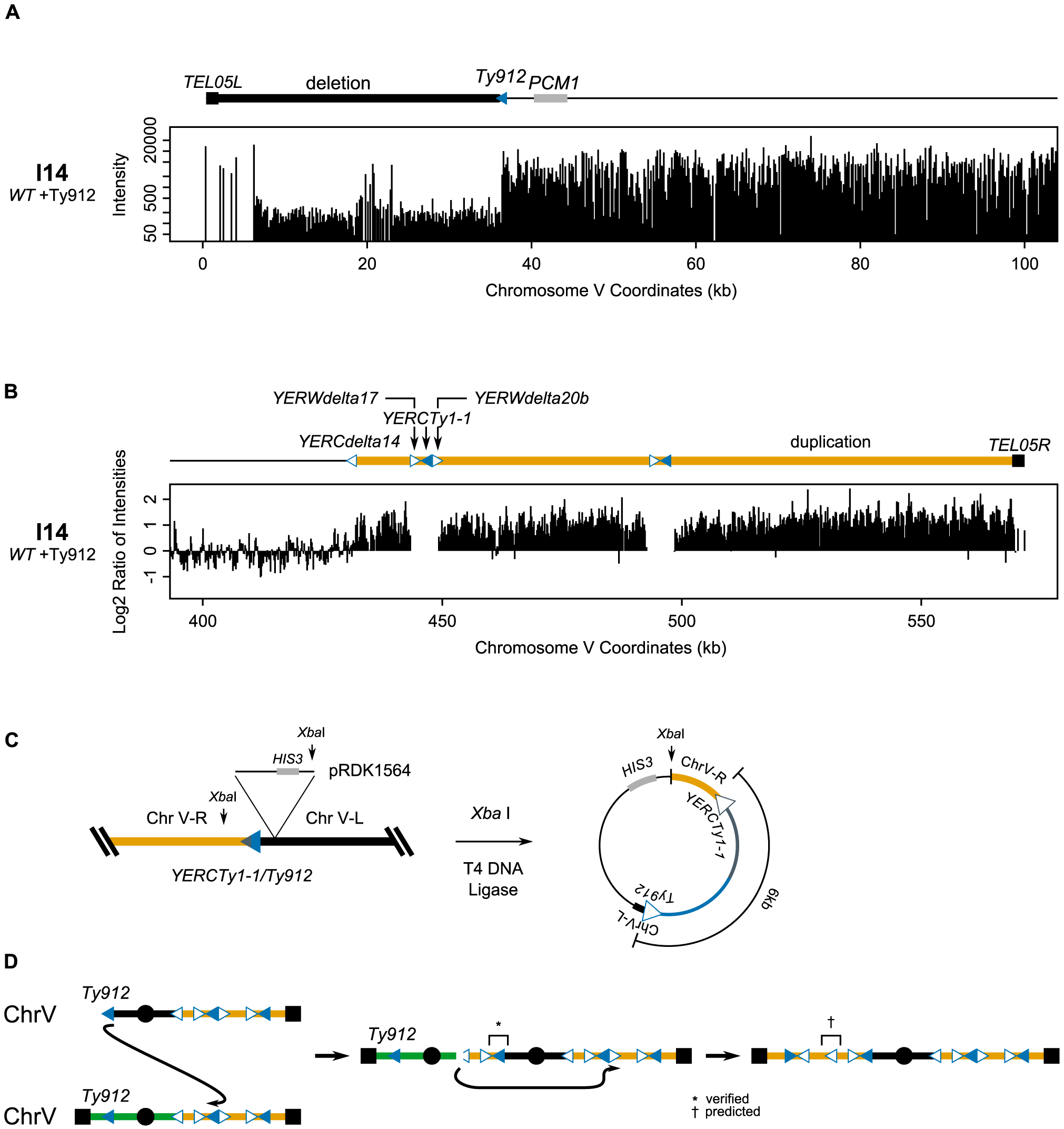 The dicentric structure of isolate I14 is resolved by Ty-mediated recombination.