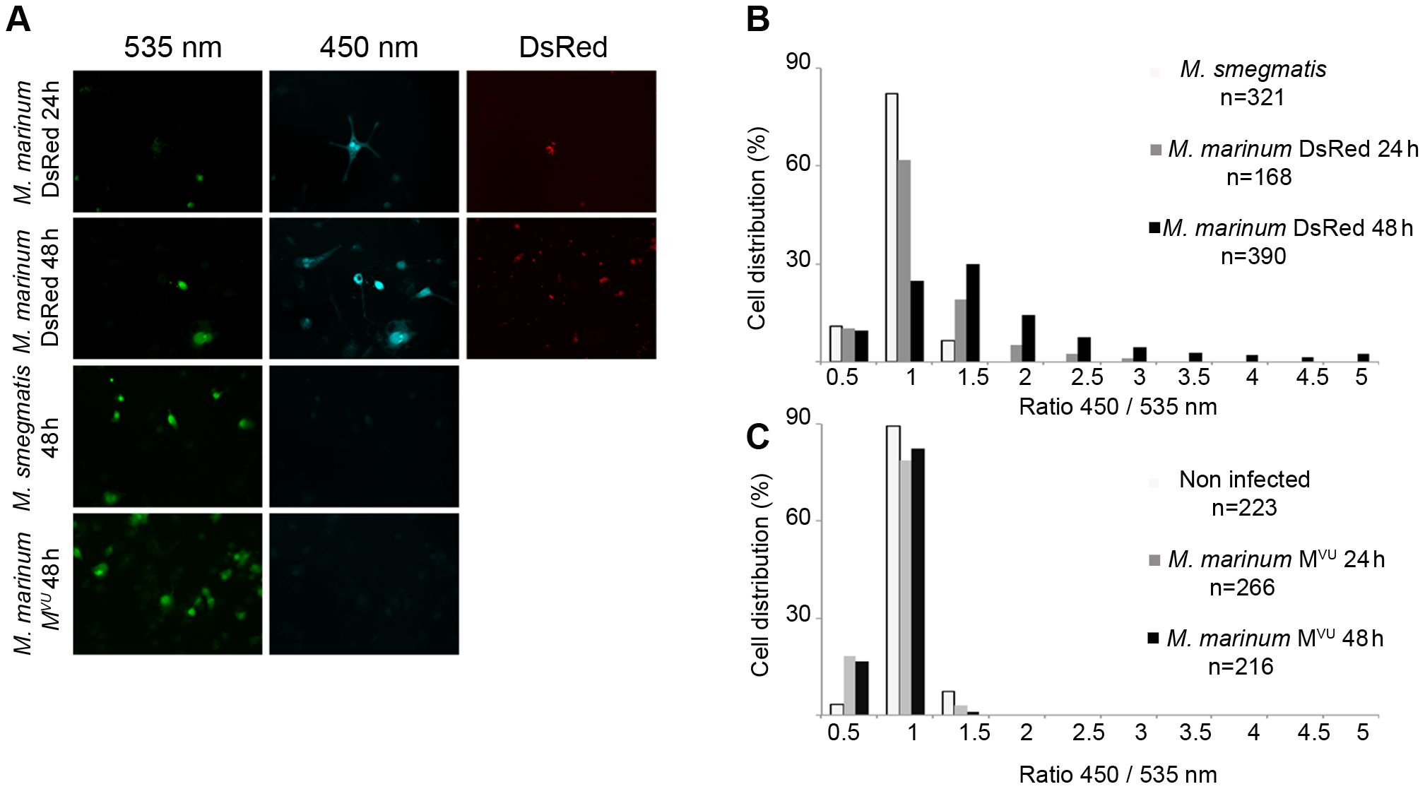 <i>M. marinum</i> is able to rupture the phagosome of THP-1 cells unlike an ESAT-6/CFP-10 secretion-deficient strain.