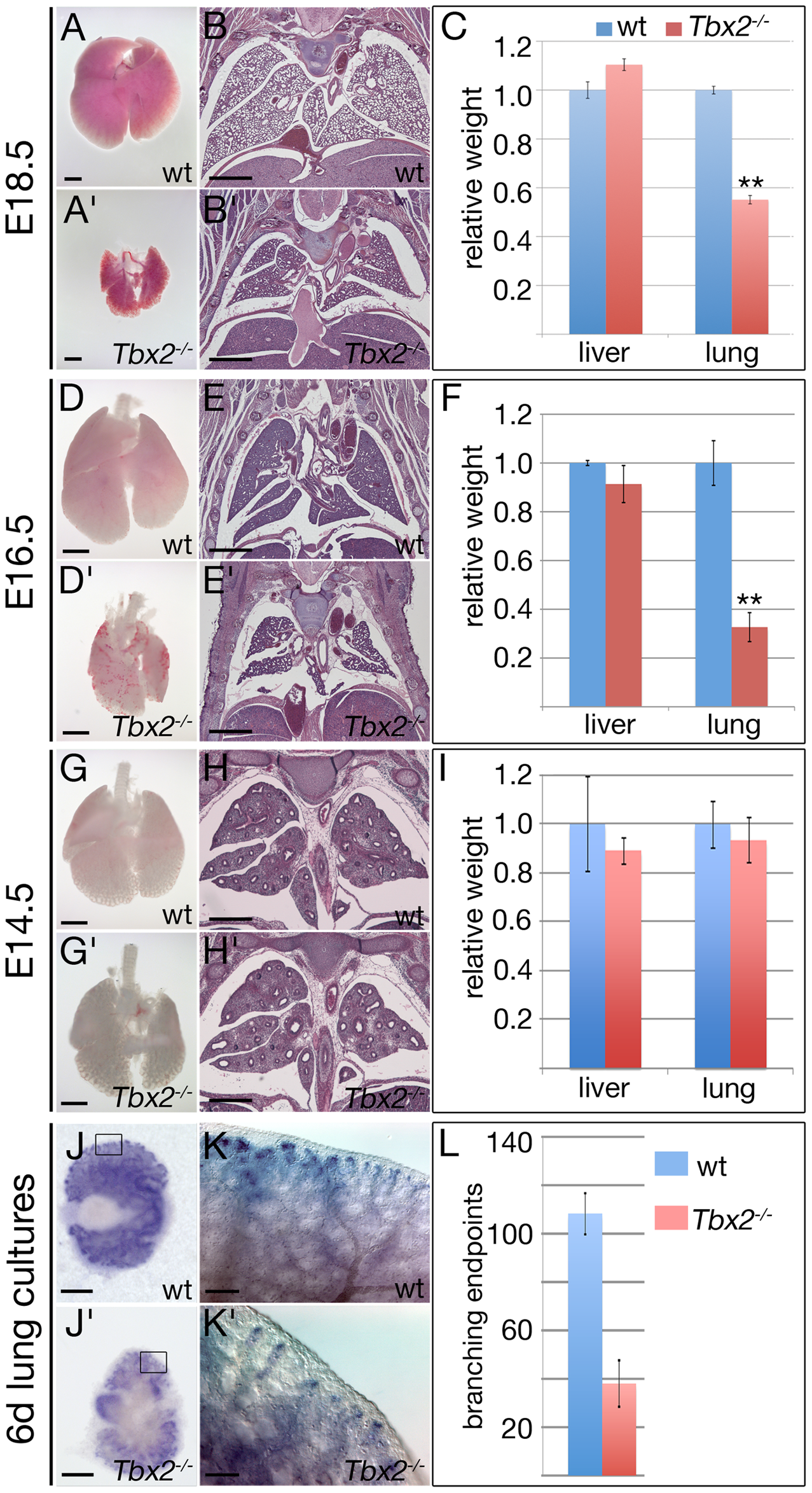 <i>Tbx2</i>-deficient lungs become hypoplastic at the late pseudoglandular stage.