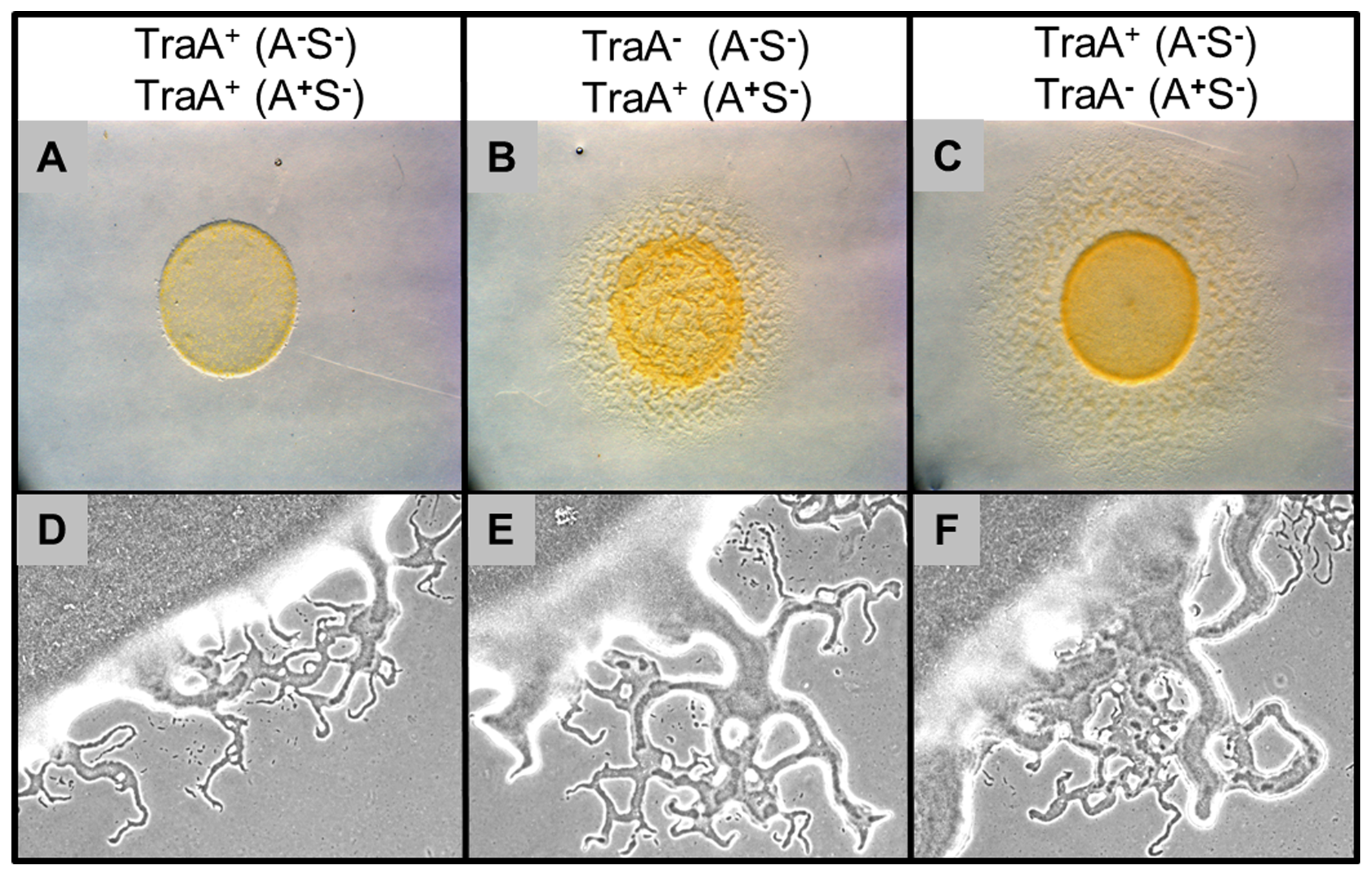 Outer membrane exchange regulates mixed colony swarm expansion.