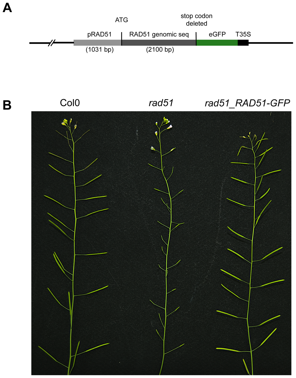 RAD51-GFP restores fertility of the Arabidopsis <i>rad51</i> mutant.