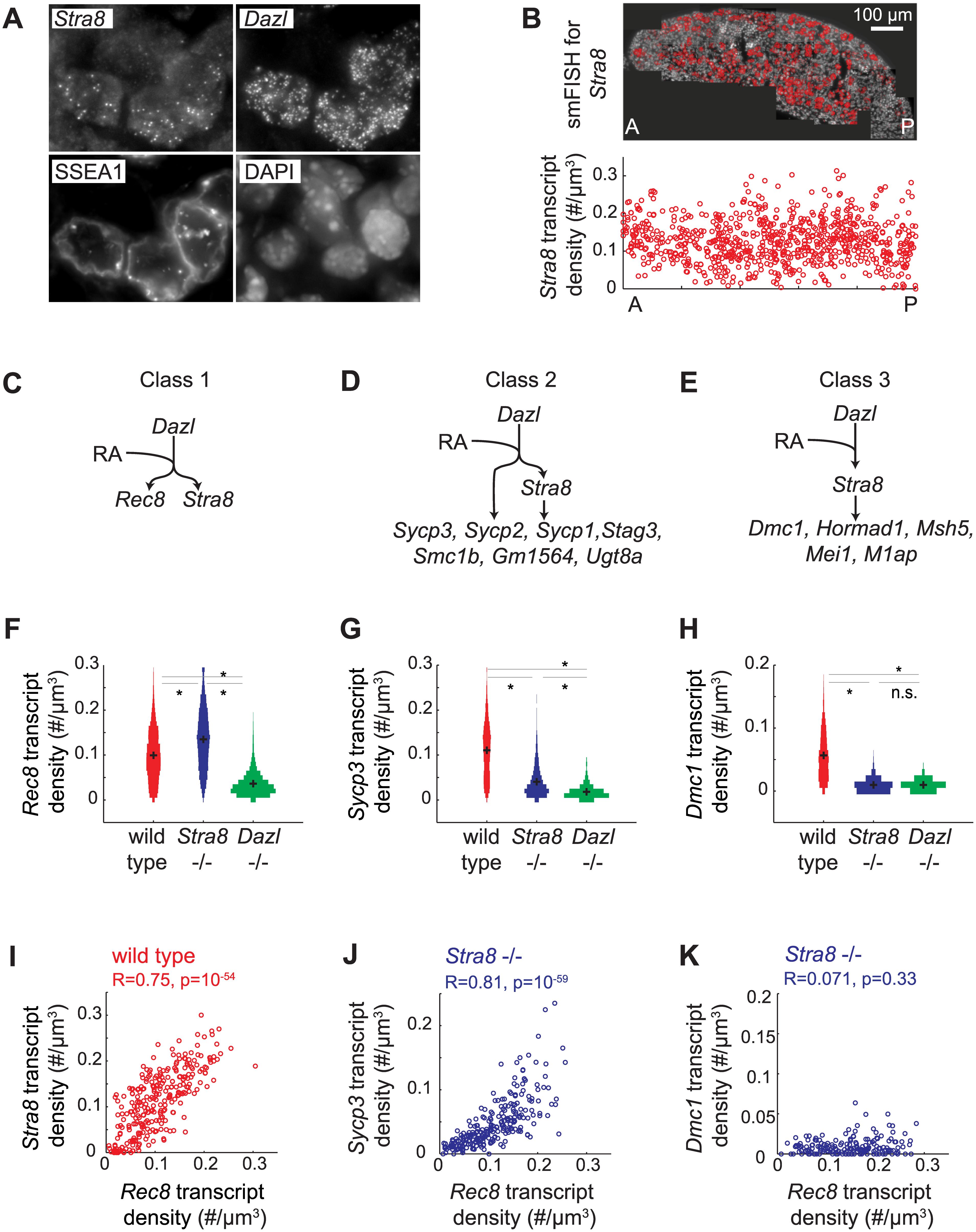 Single molecule FISH analysis corroborates three classes of gene regulation at the level of individual germ cells.