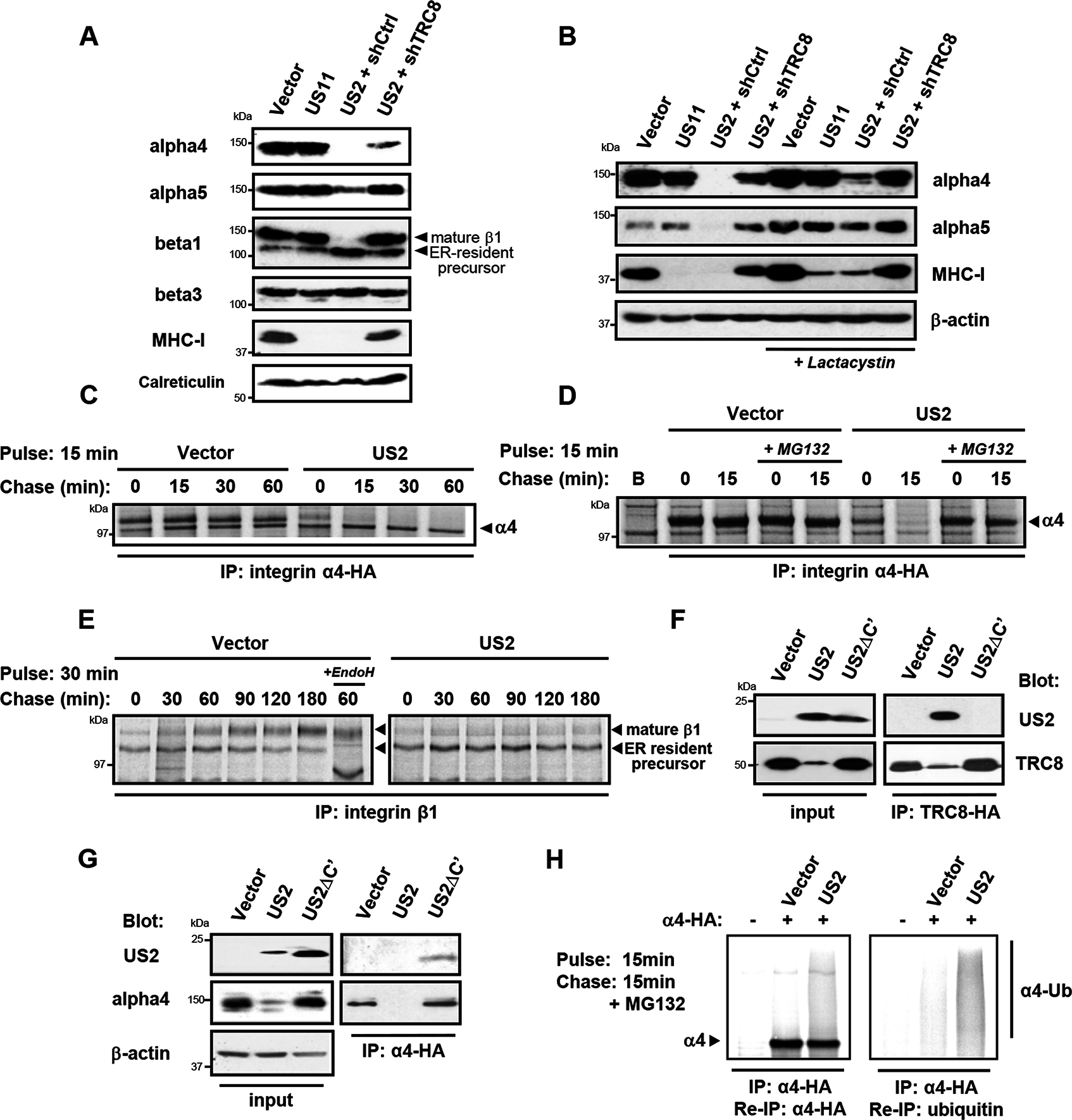 US2 induces the proteasomal degradation of integrin α4 and α5 and prevents maturation of the β1 integrin.