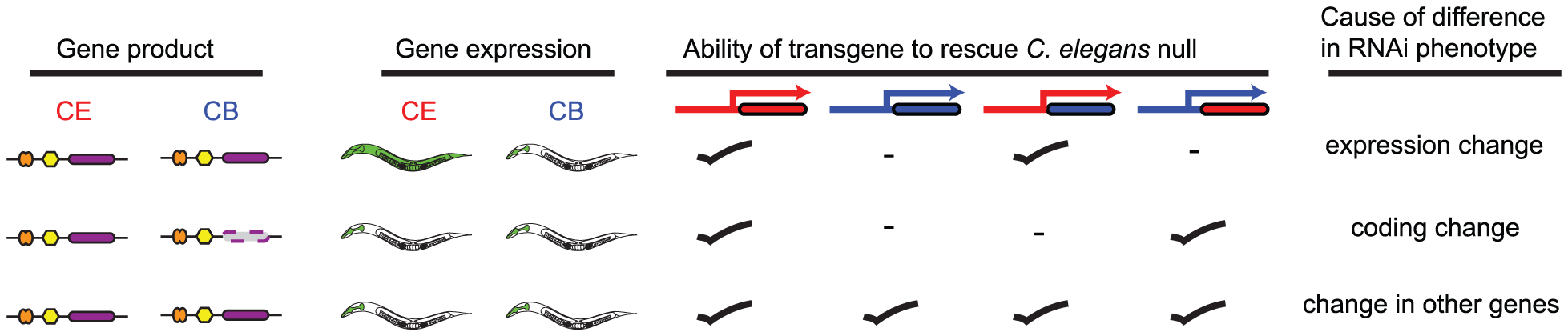 Schematic illustrating transgenic rescue approach.