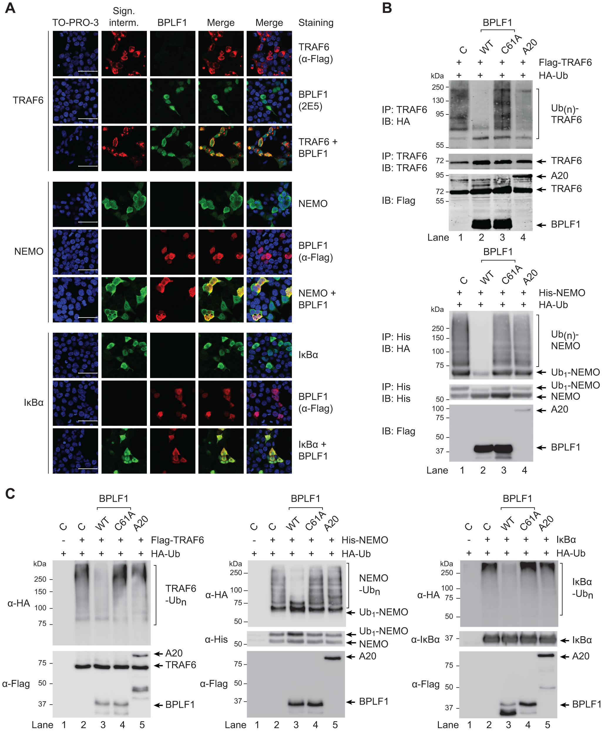 EBV DUB BPLF1 can target K63- and K48-ubiquitinated signaling intermediates.