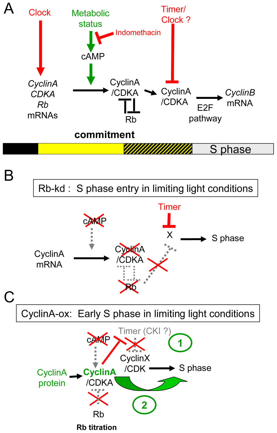 Speculative model of the light-dependent regulation of S phase entry in <i>Ostreococcus</i>.