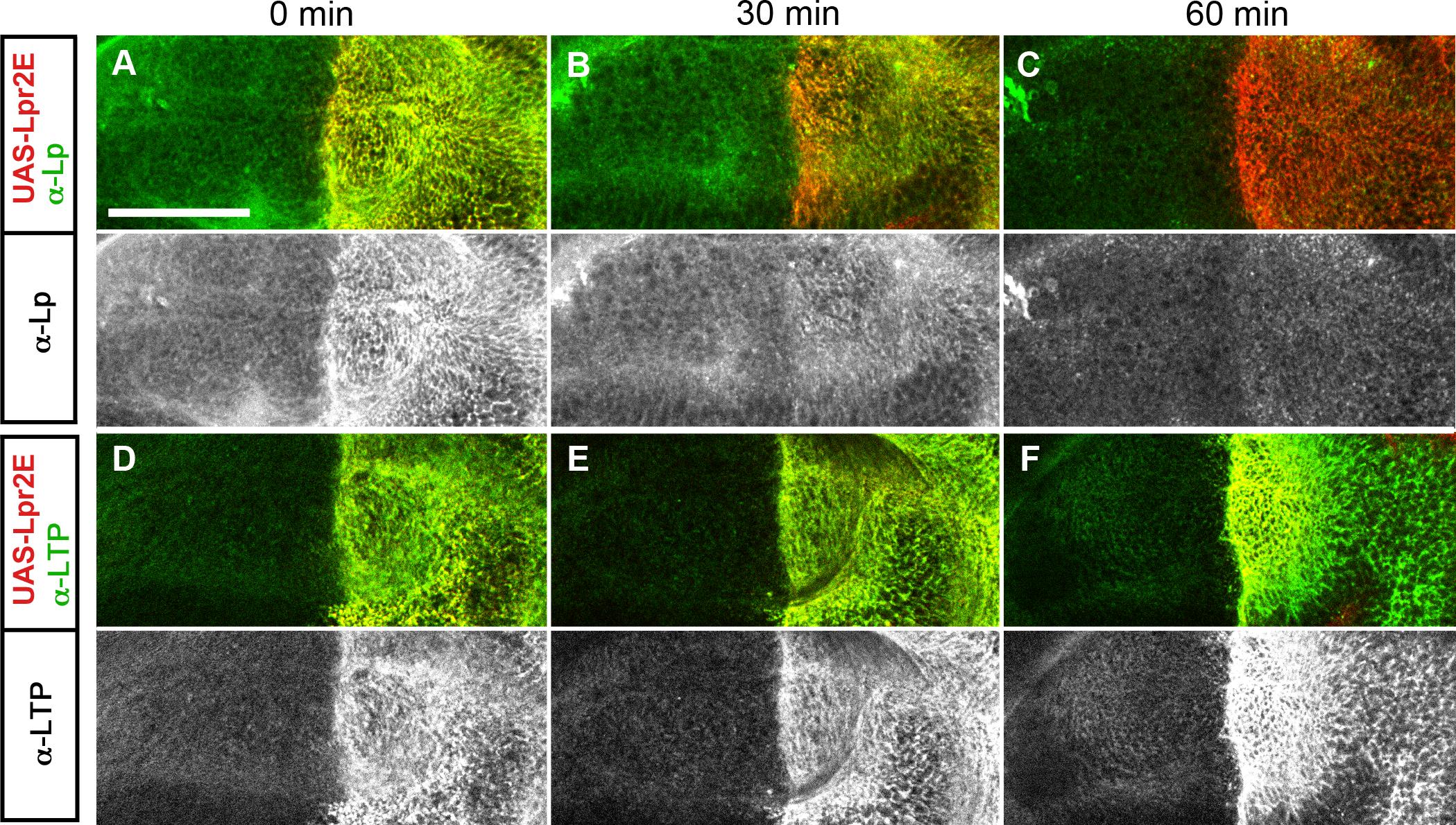 Lpr2E-mediated lipophorin association with cells is transient.