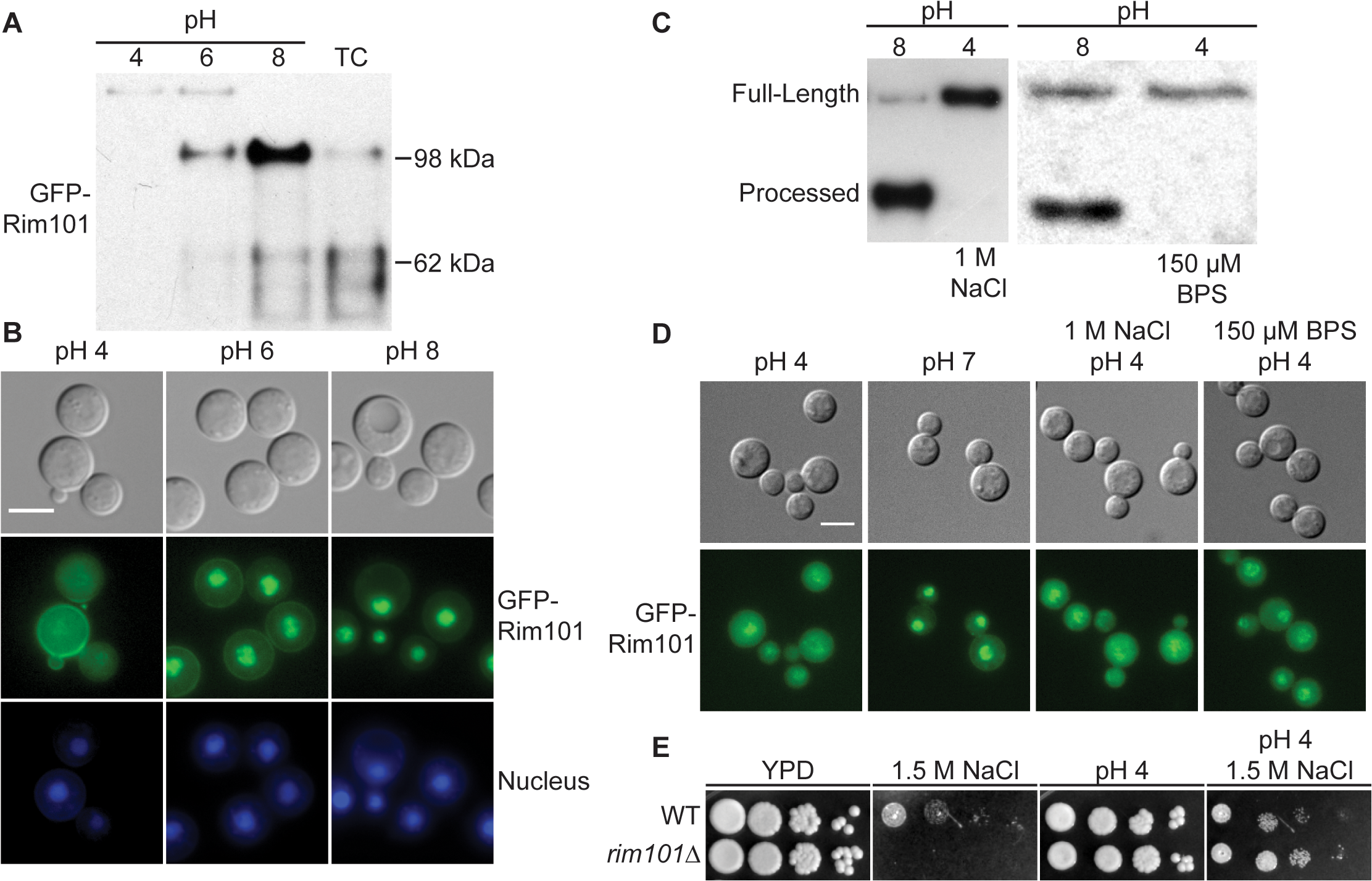 Rim101 proteolysis and nuclear localization are dependent on pH.