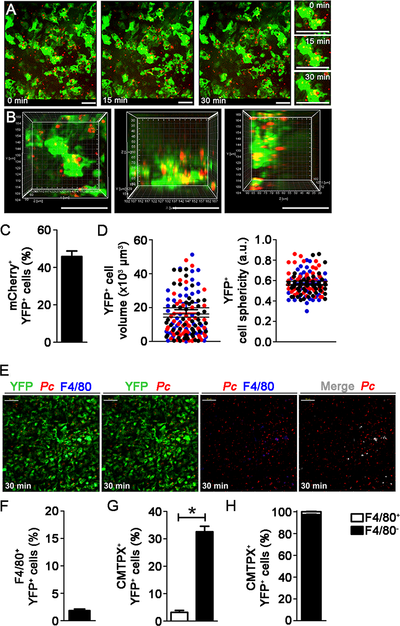 <i>In vivo</i> analysis of iRBC uptake by subcapsular RP DCs during pre-crisis.