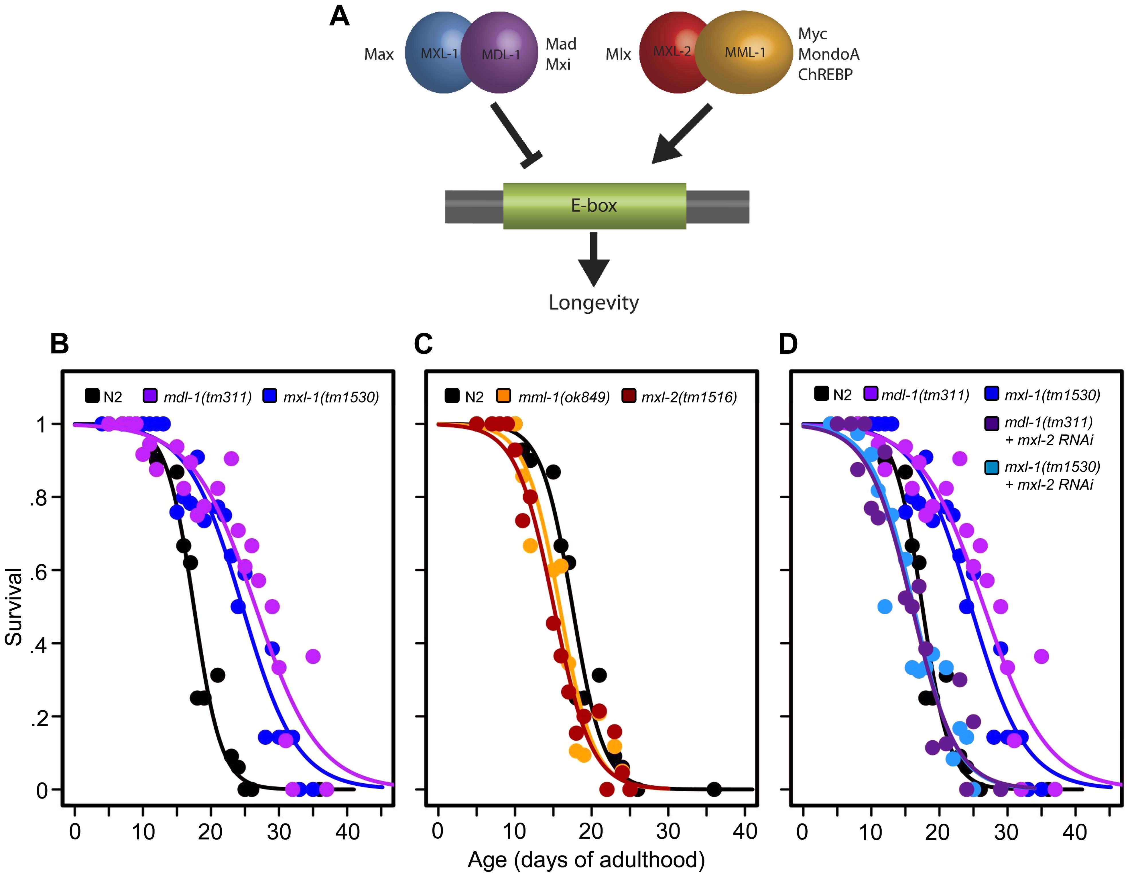 The <i>C. elegans</i> Myc-Mondo/Mad complexes have opposing functions in longevity.