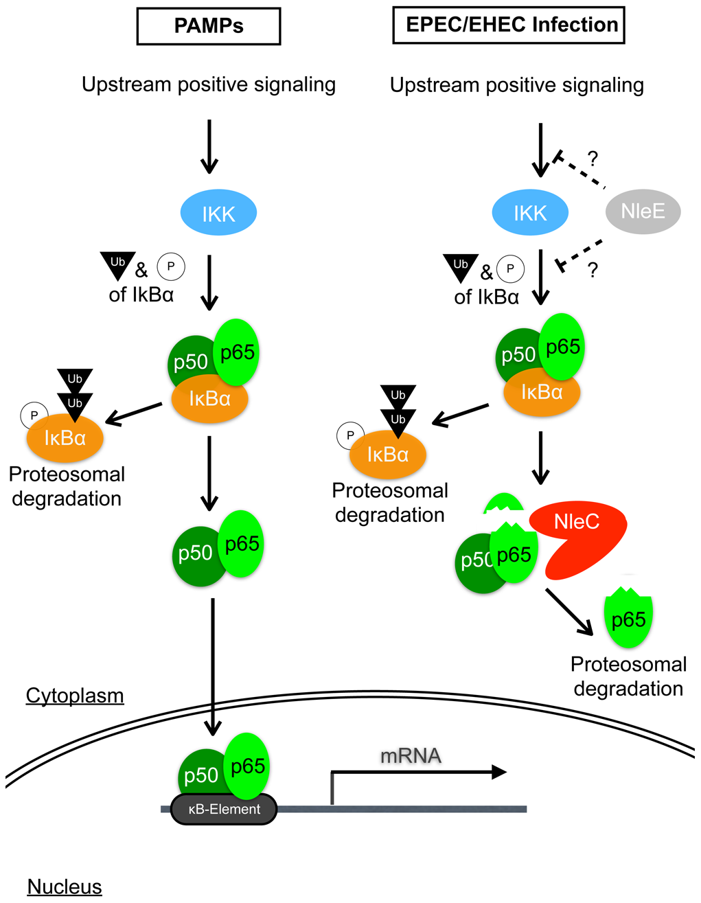 Schematic diagram illustrating the modes of action of NleC and NleE in host NF-κB suppression.