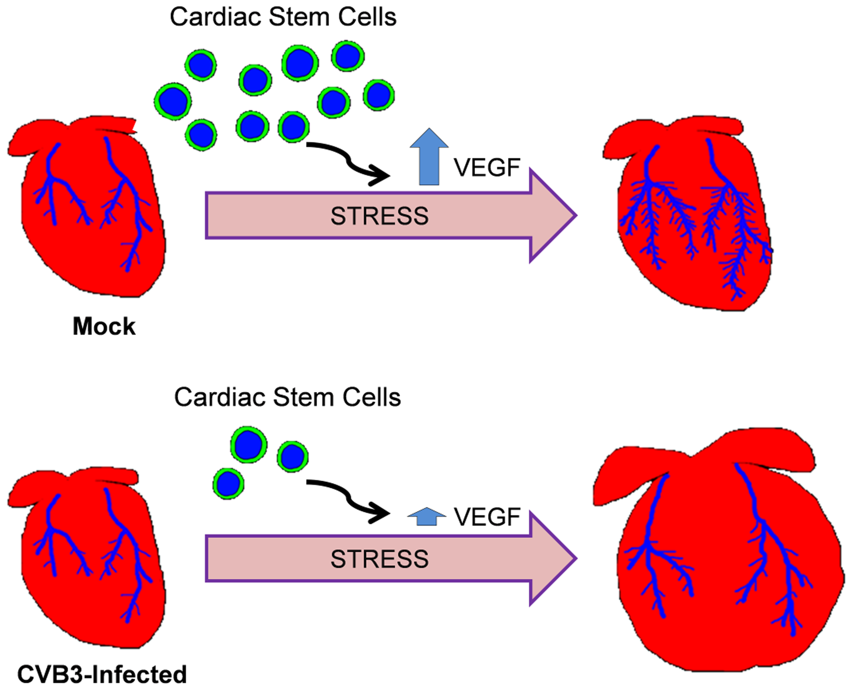 Model of adult heart failure in juvenile CVB3-infected mice.