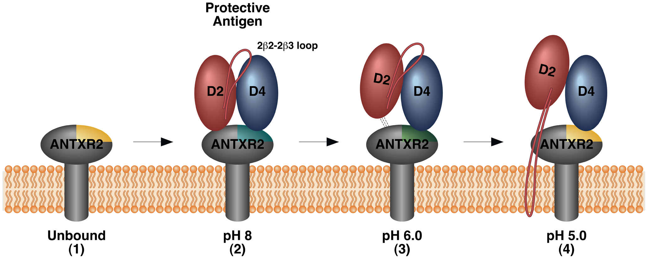 Model of changes in the PA-receptor contacts that accompany toxin prepore-to-pore conversion.