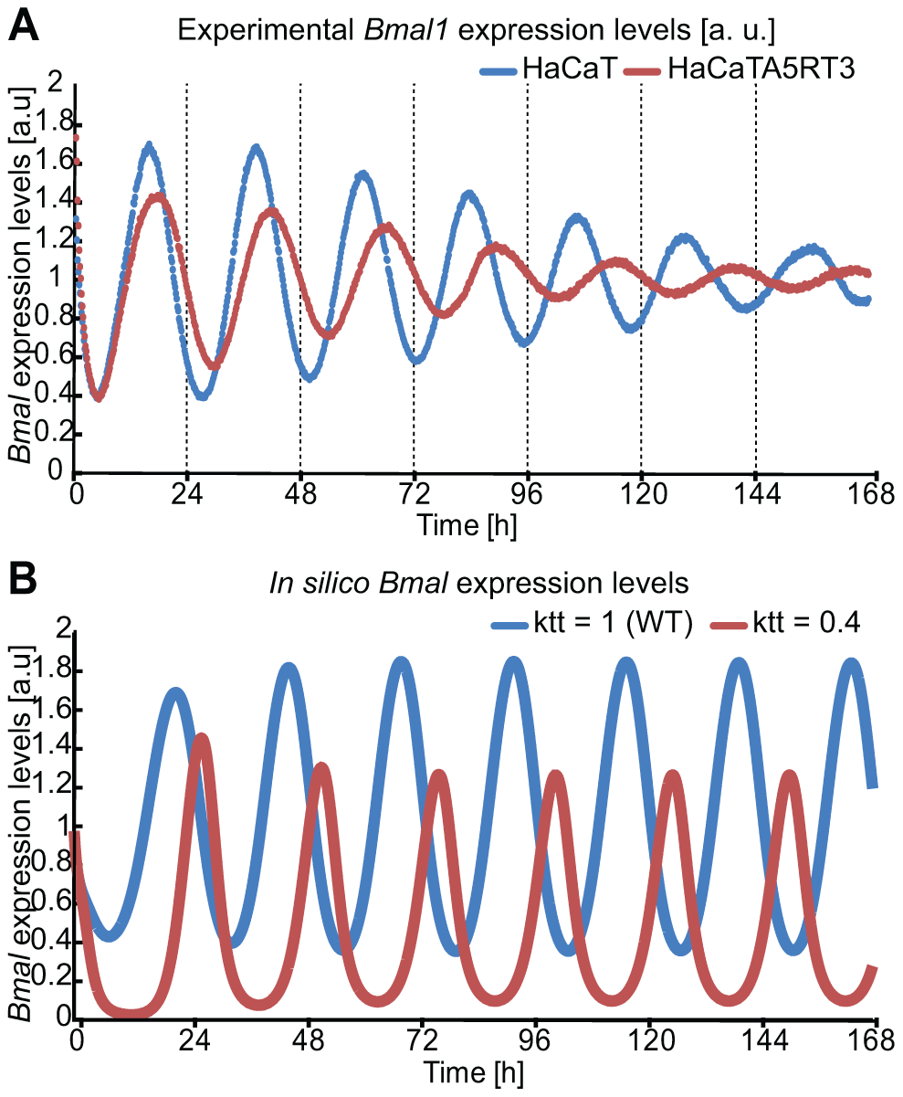 In silico perturbation of BMAL-mediated transcription reproduces HaCaT vs A5RT3 phenotype.