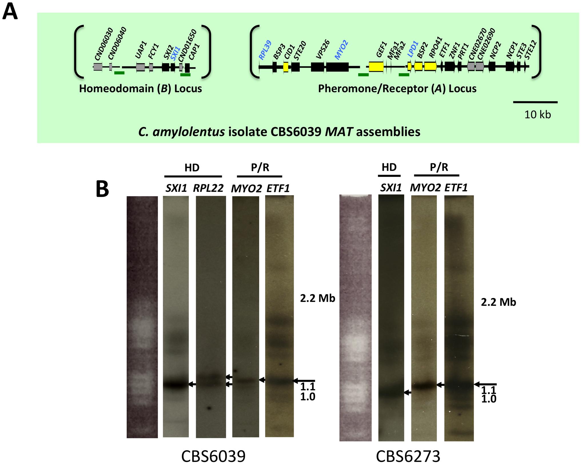 <i>C. amylolentus MAT</i> loci and chromosomal locations.