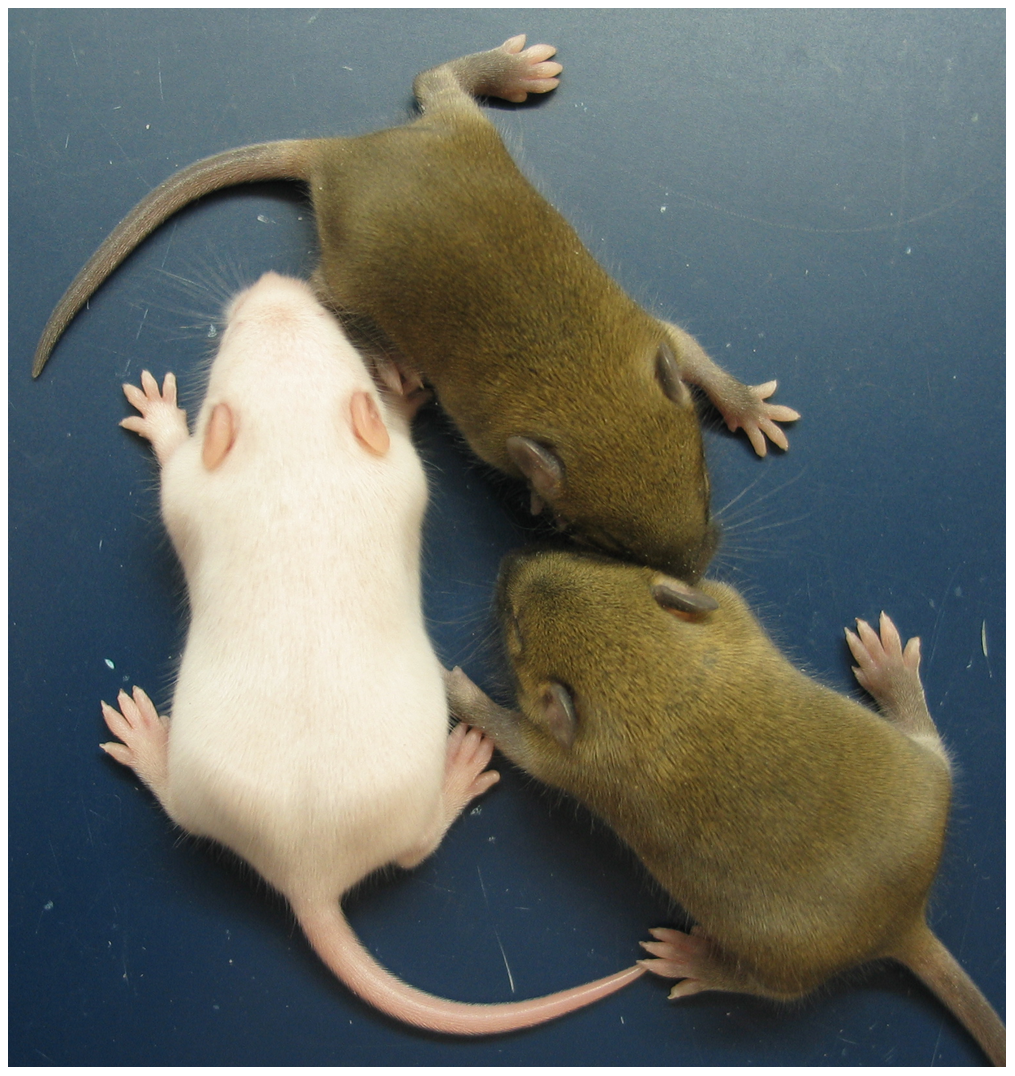 Neonatal MatDup.dist7 mouse rescued by ICR<sup>Δ</sup>.
