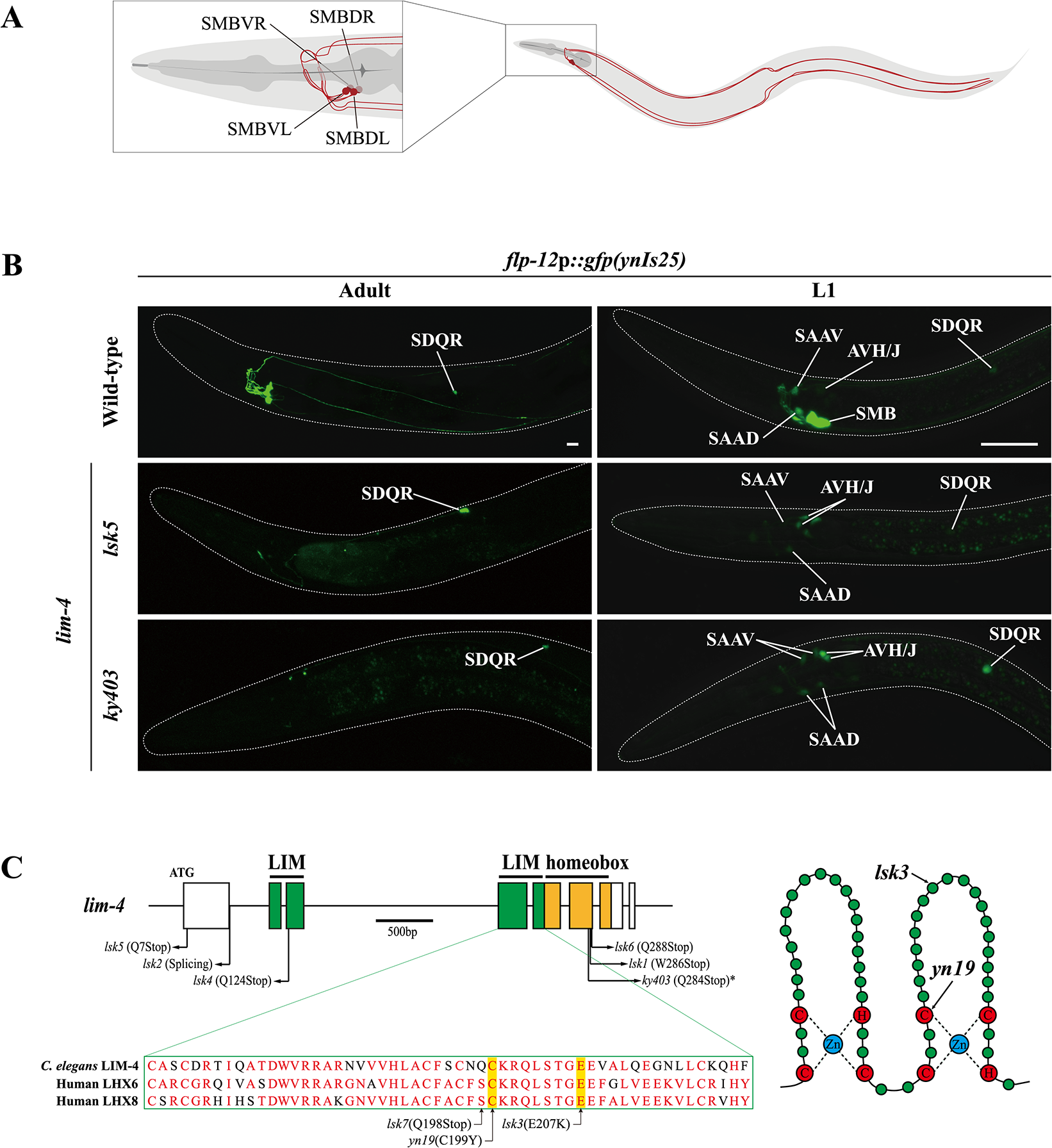 Expression of a <i>flp-12</i> neuropeptide reporter is abolished in the SMB neurons of <i>lim-4</i> mutants.
