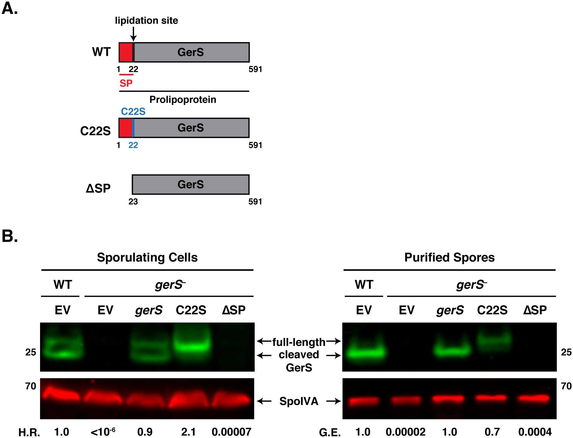 The signal peptide of GerS, but not its lipidation site, is required for germination.