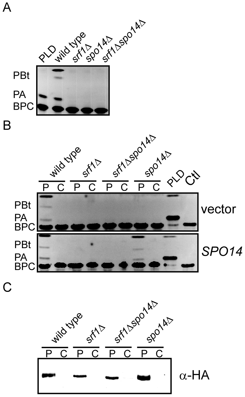 Srf1 regulates phospholipase D catalytic activity in mitotic cells.