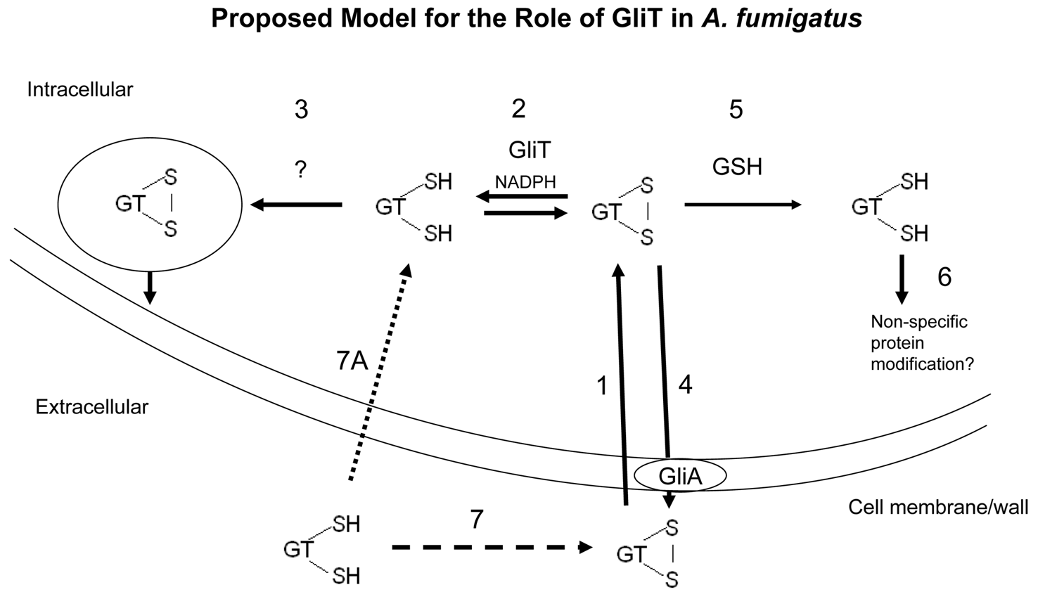 A proposed model for GliT functionality in <i>A. fumigatus</i> based on experimental observations.