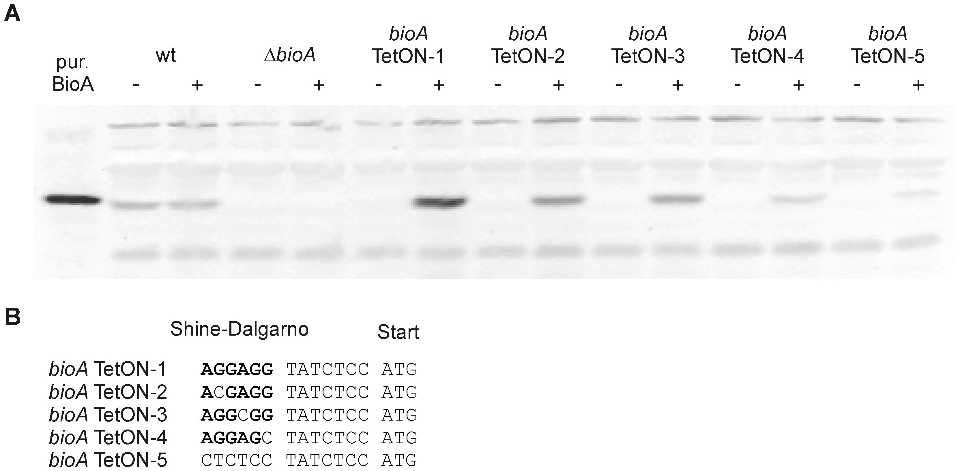 BioA protein levels of wt <i>Mtb</i>, <i>ΔbioA</i>, and <i>bioA</i> TetON mutants.