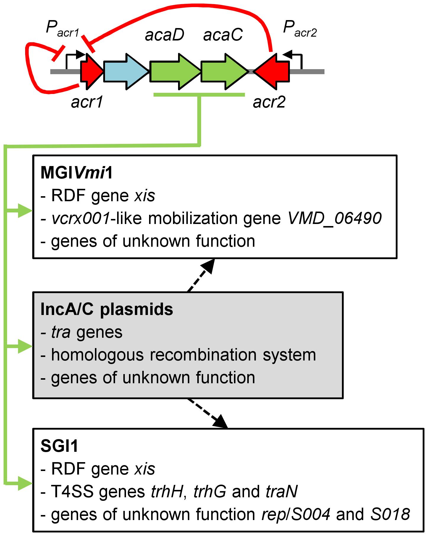 Model of regulation of IncA/C plasmids and interaction with genomic islands.