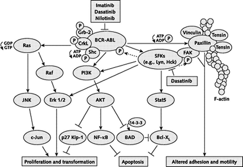Velmi zjednodušené schéma komplexních procesů odehrávajících se v nádorové CML buňce. Přenos onkogenních signálů BCRABL a rodinou Src kináz. Inhibiční efekt je vyznačen obráceným T. FAK = focal adhesion kinase; Grb-2 = growth factor receptor–bound protein 2; HcK = hematopoietic cell kinase; JNK = Jun amino-terminal kinase; P = phosphate group; PI3K = phosphatidylinositol- 3–kinase; SFK = Src family kinases; Stat5 = signal transducer and activator of transcription 5. Upraveno dle Kantarjian et al. (15). Vysvětlivky: FAK = focal adhesion kinase; Grb-2 = growth factor receptor–bound protein 2; HcK = hematopoietic cell kinase; JNK = Jun amino-terminal kinase; P = phosphate group; PI3K = phosphatidylinositol- 3–kinase; SFK = Src family kinases; Stat5 = signal transducer and activator of transcription