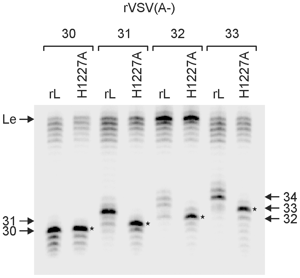 Capping occurs at a nascent RNA chain length of 31-nt.