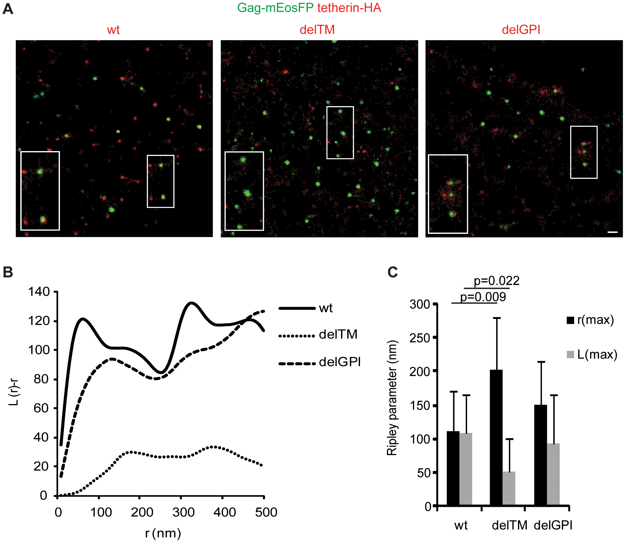 Association of tetherin with HIV-1 budding sites depends on its transmembrane domain.