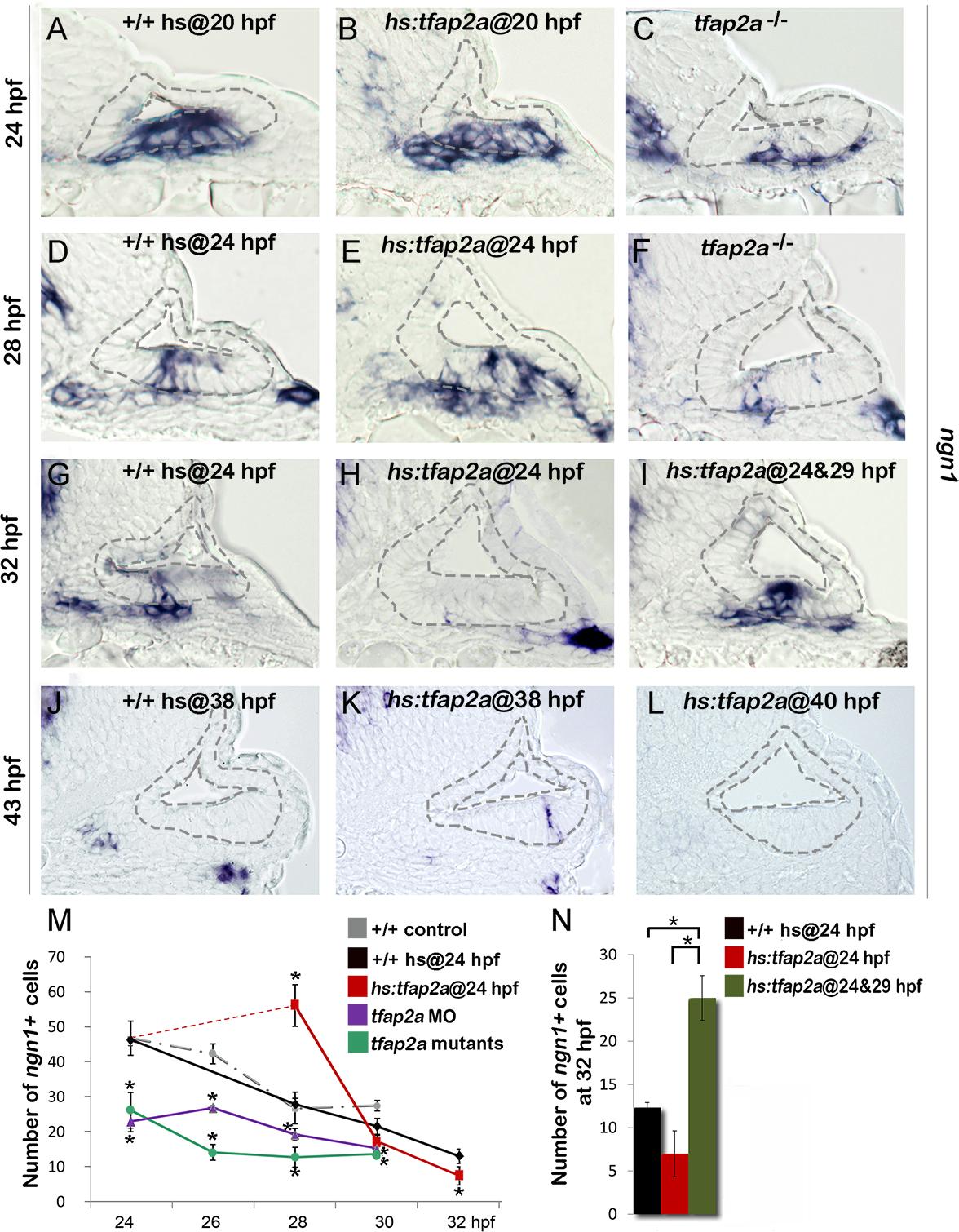 Tfap2a enhances otic neurogenesis.