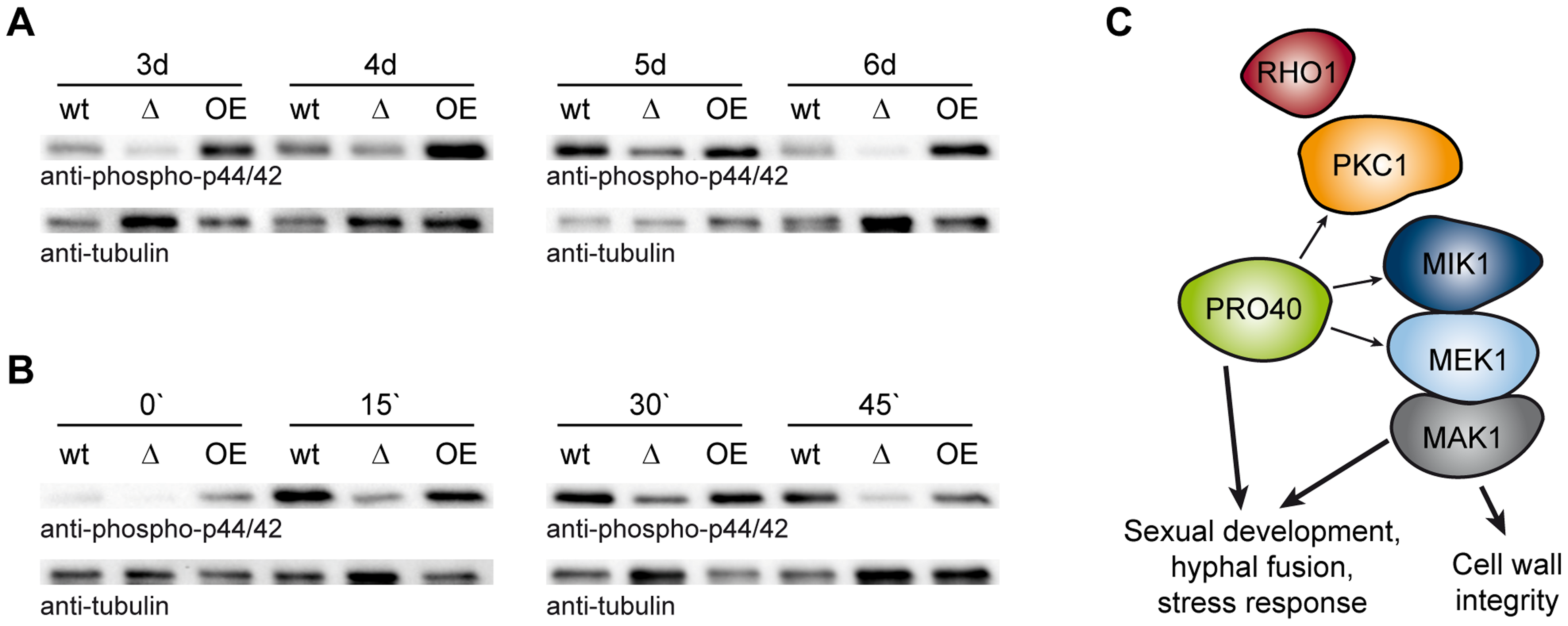 PRO40 is required for correct signaling via the CWI pathway.