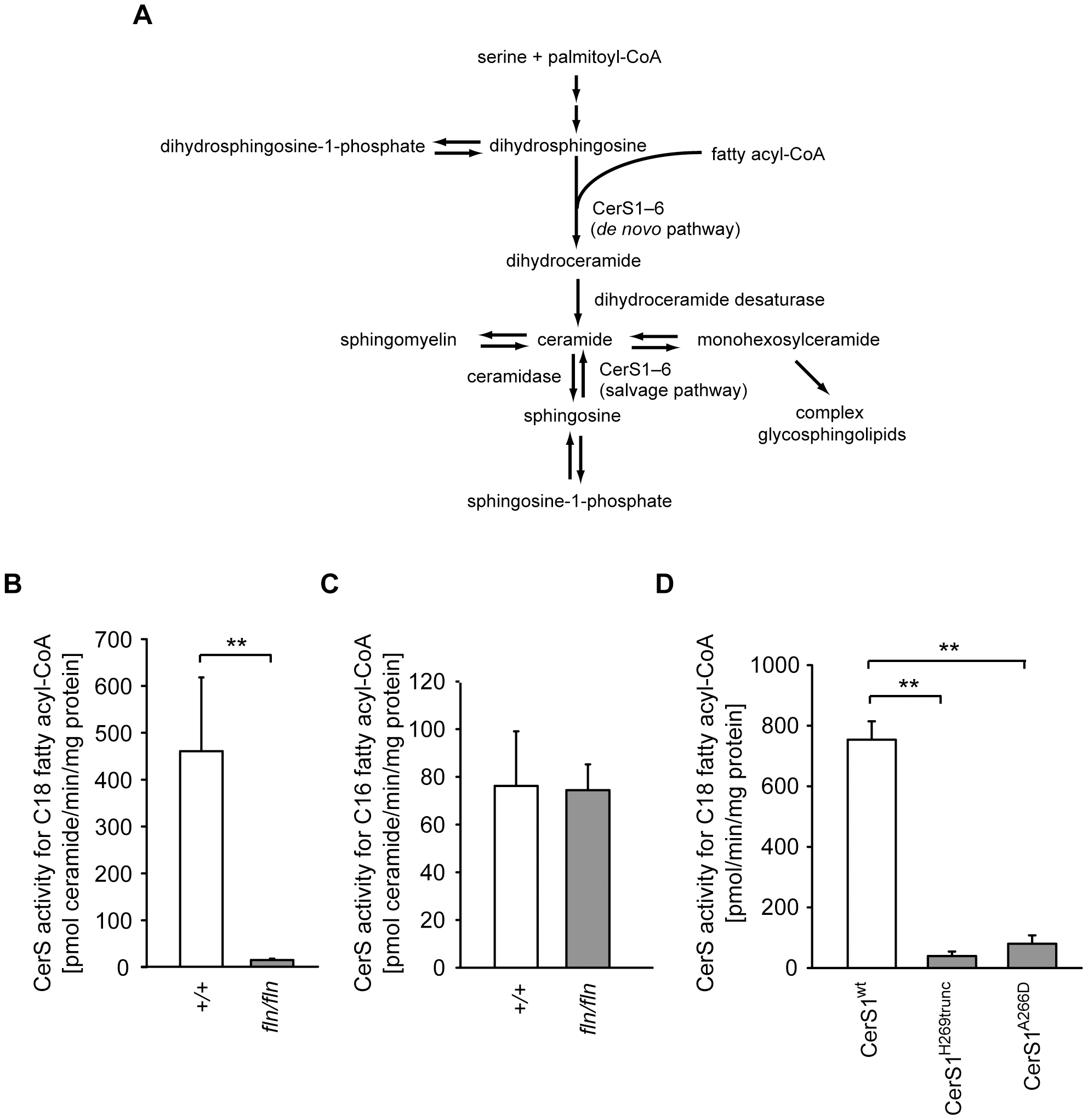 The <i>fln</i> and <i>to</i> mutations impair ceramide synthase activity of CerS1.