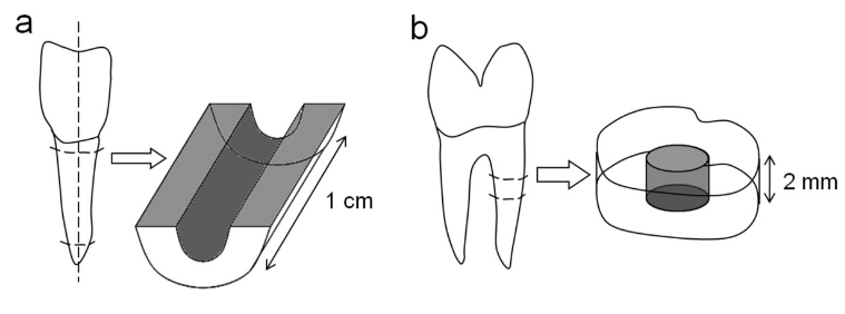 "Preparation of bovine and human root canal models. Bovine roots were sectioned longitudinally and the root canal surface was treated with a rose-bur (a). Additionally, human roots were cut horizontally into 2 mm thick discs after root canal preparation (b). Both models underwent ultrasonic desorption to remove the accumulated ""smear layer""(abrasive dust, debris)."