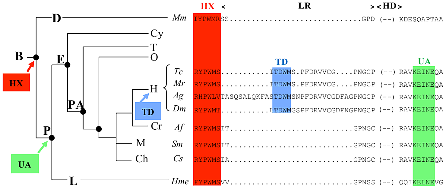 Phylogeny of the HX, TD, and UbdA protein domains.