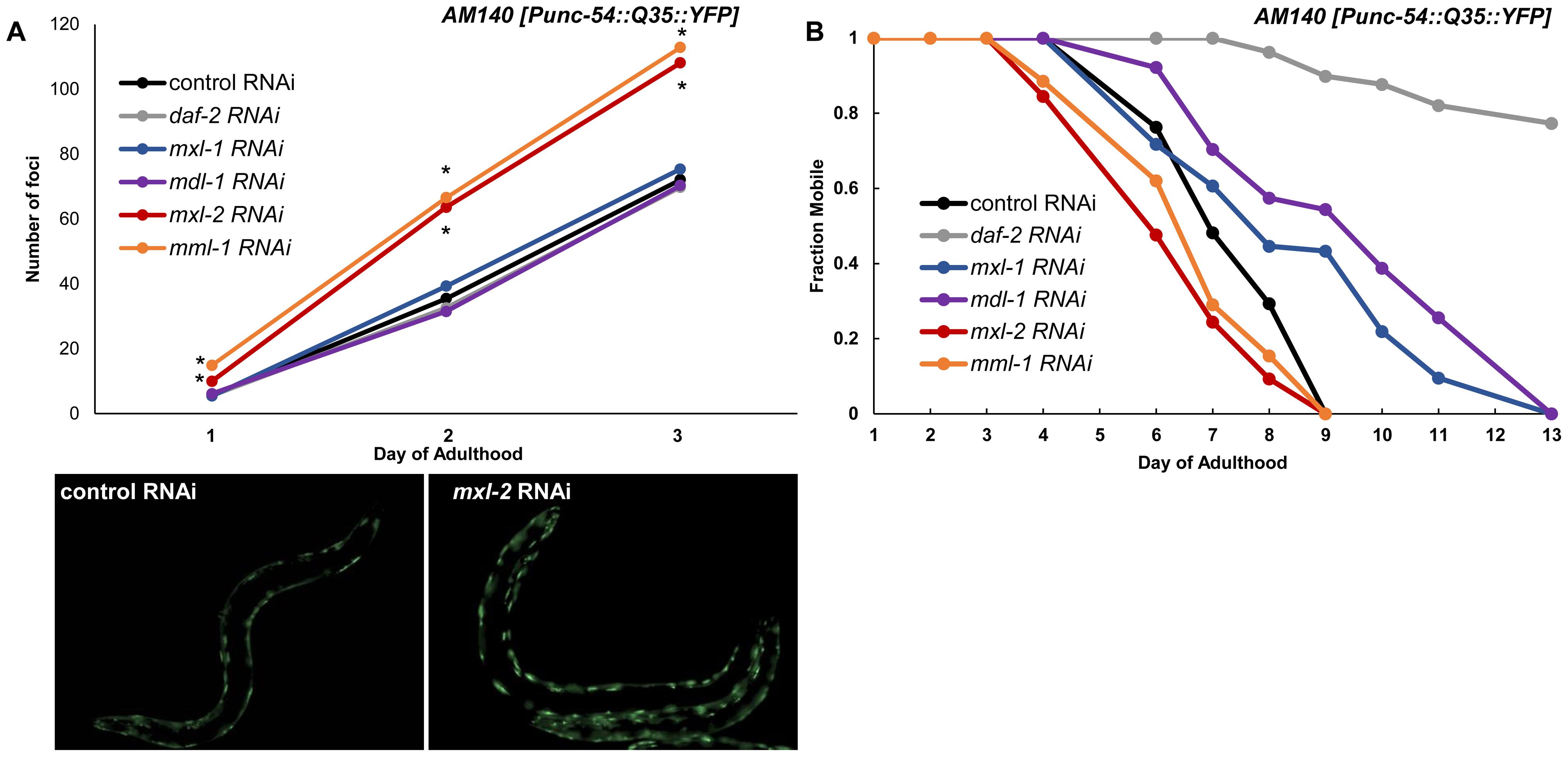 Myc-Mondo/Mad transcription factors influence proteostasis.