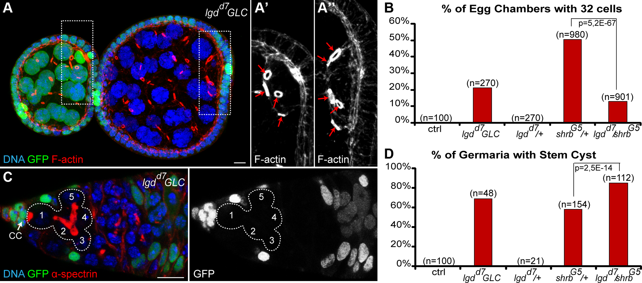 Loss of Lethal giant discs induces the formation of stem-cysts and 32-cell egg chambers.