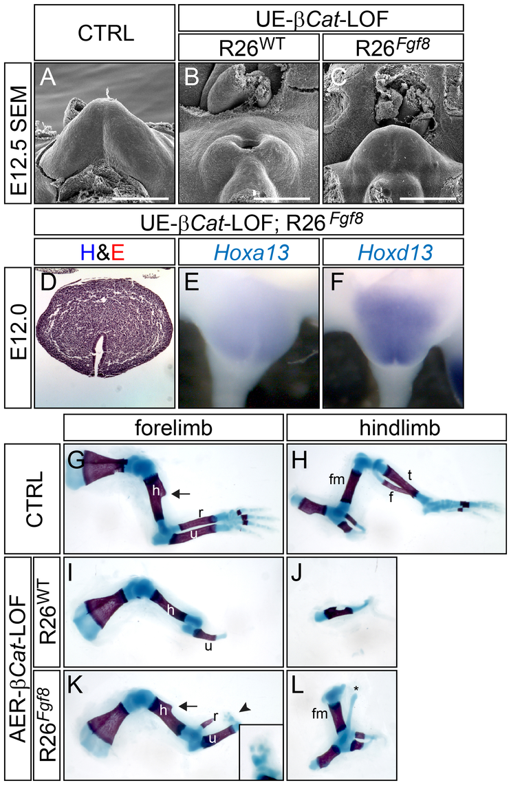 FGF8 rescues appendage reduction in β-catenin-LOF mutants, but not in <i>Shh</i>-KO mutants.