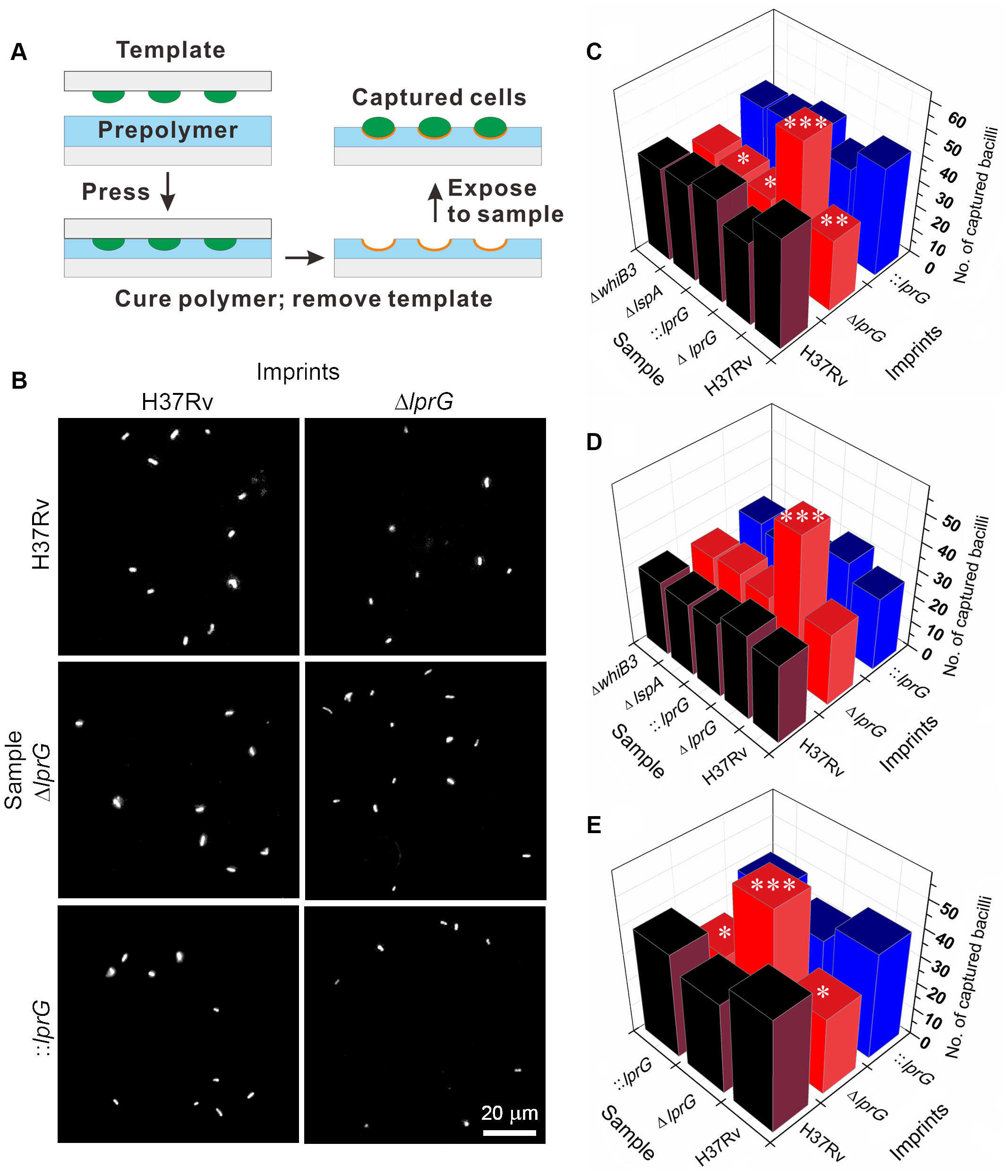Cell-imprinting reveals altered cell surface and reduced surface-exposed LAM in the <i>lprG</i> mutant.