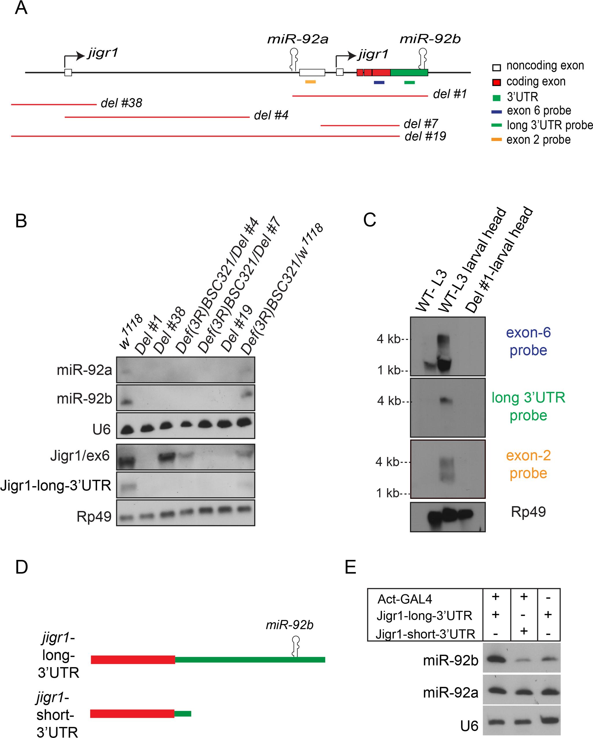 <i>miR-92a</i> and <i>miR-92b</i> are transcribed in the same transcriptional unit.